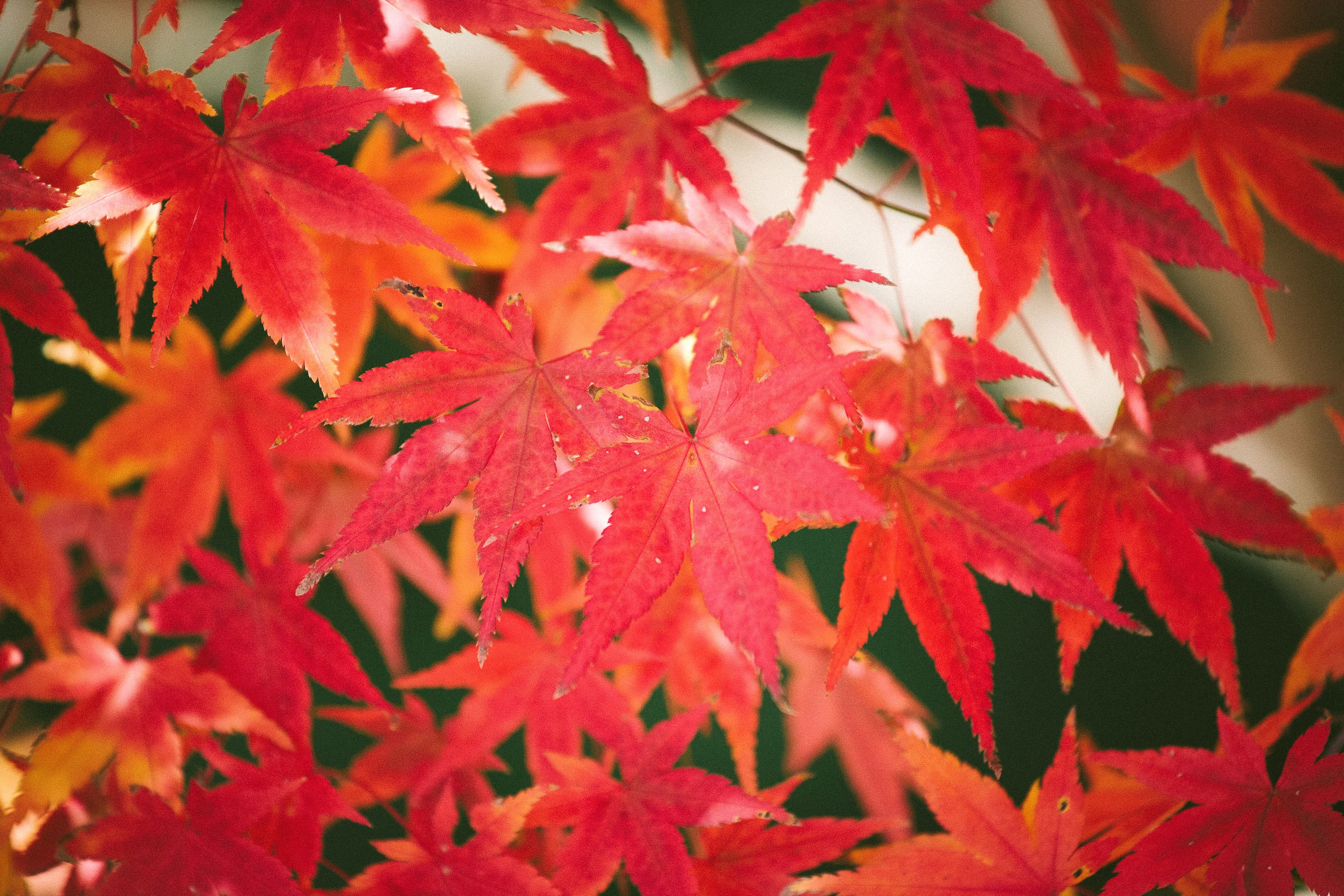 Red Leaves Autumn Fall Leaf