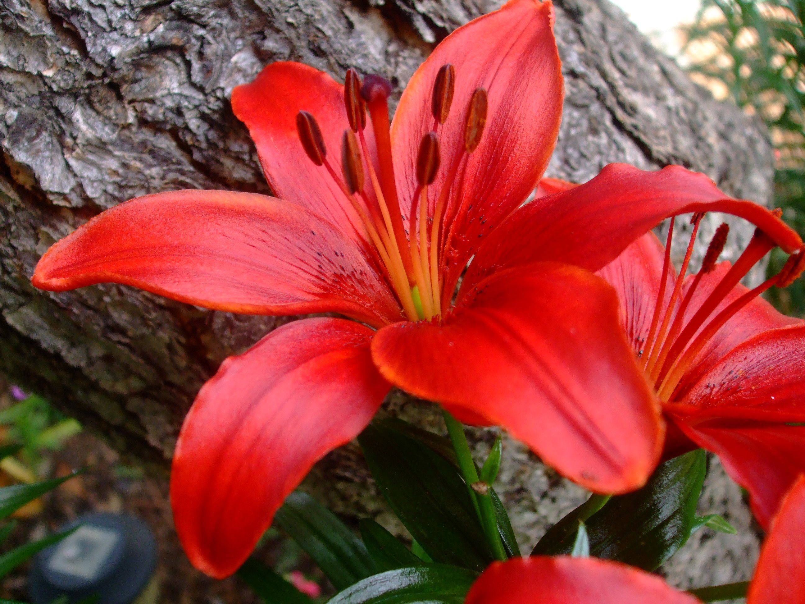 Red lily | Flowers | Pinterest | Red lily, Flowers and Gardens