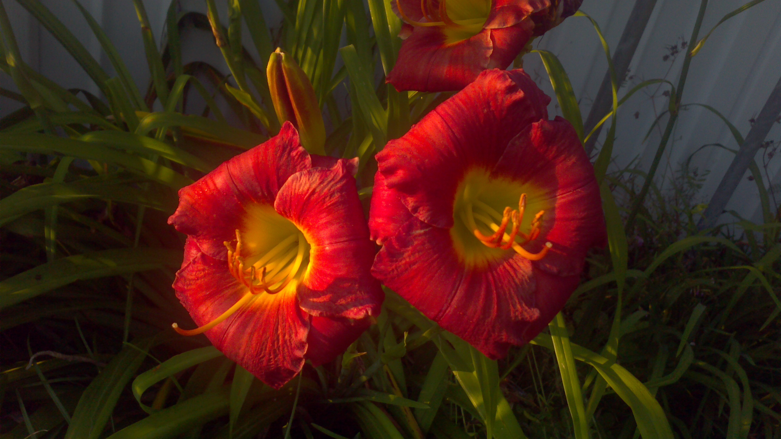 Red Lilies, Bloom, Blossom, Flower, Garden, HQ Photo
