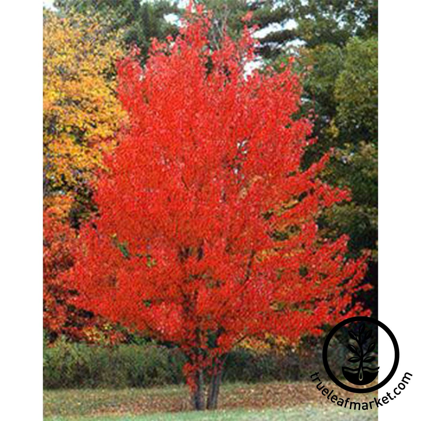 Tree Kit | Arbor Day Red Maple Tree Kit with Seeds