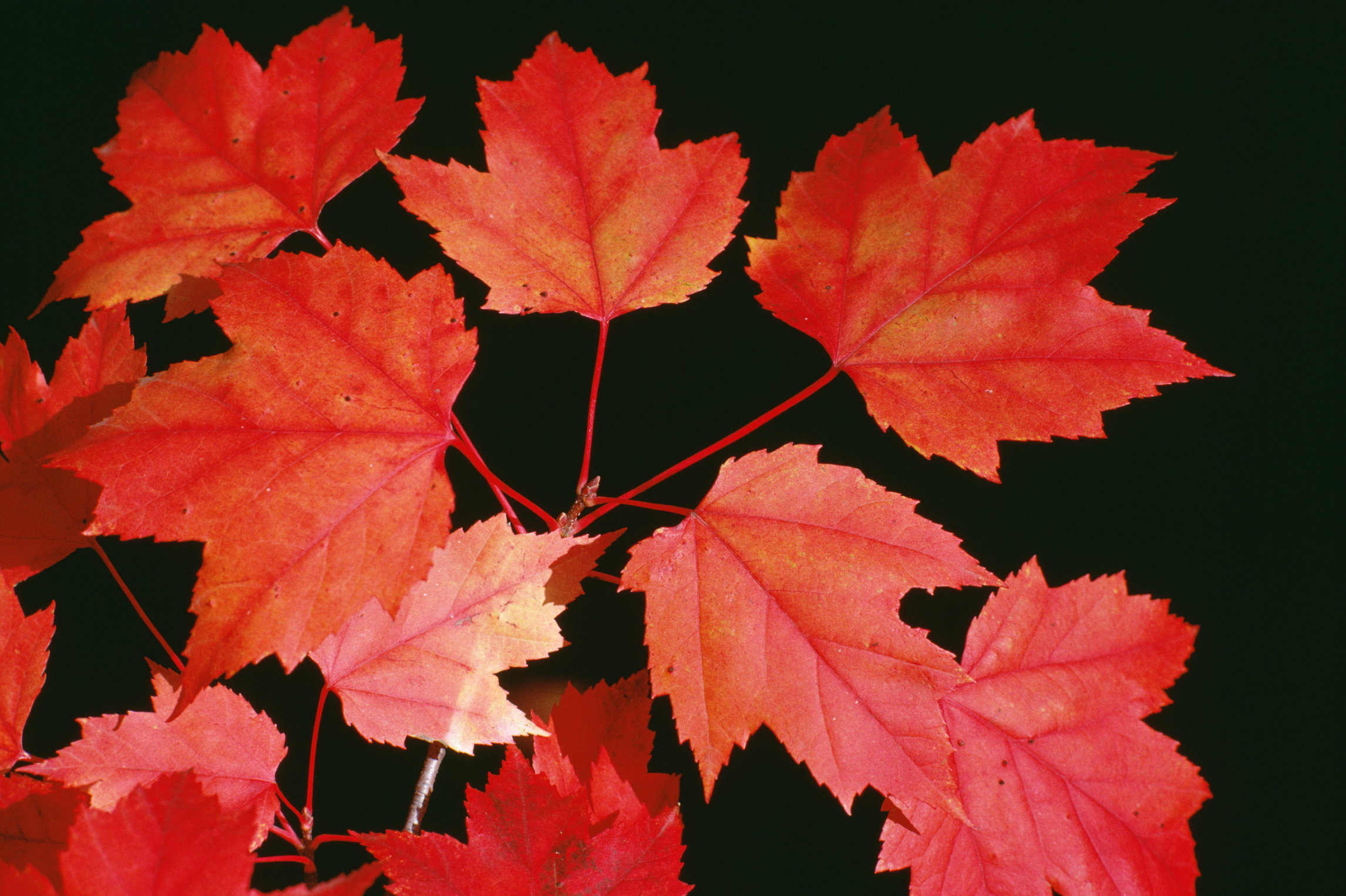 Pros & Cons of Red Maple Trees | Home Guides | SF Gate