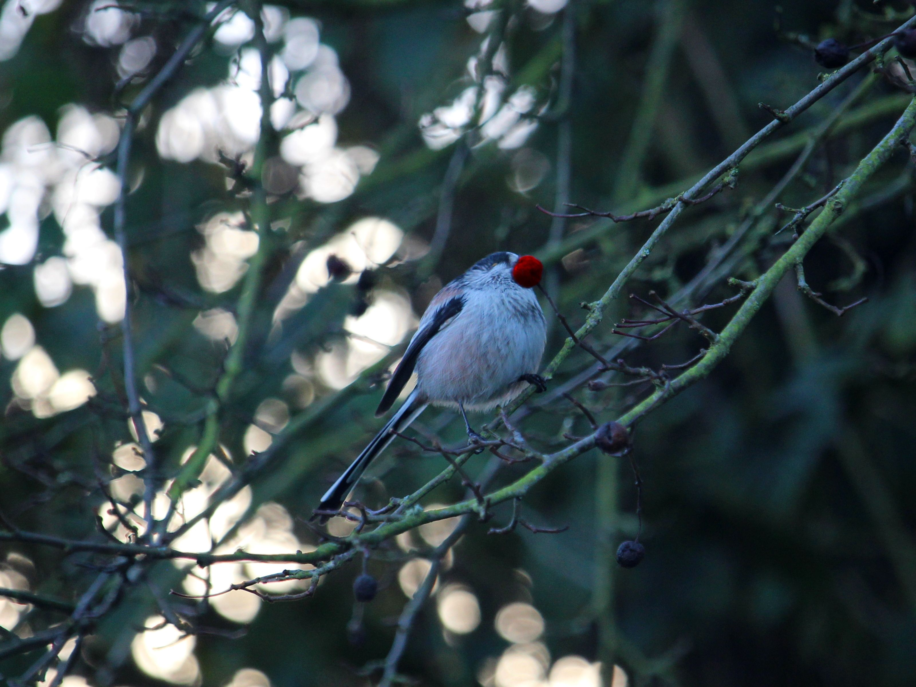 Red Nose Long Tail, Amateur photography, Bird, Cheshire Countryside, Forest, HQ Photo