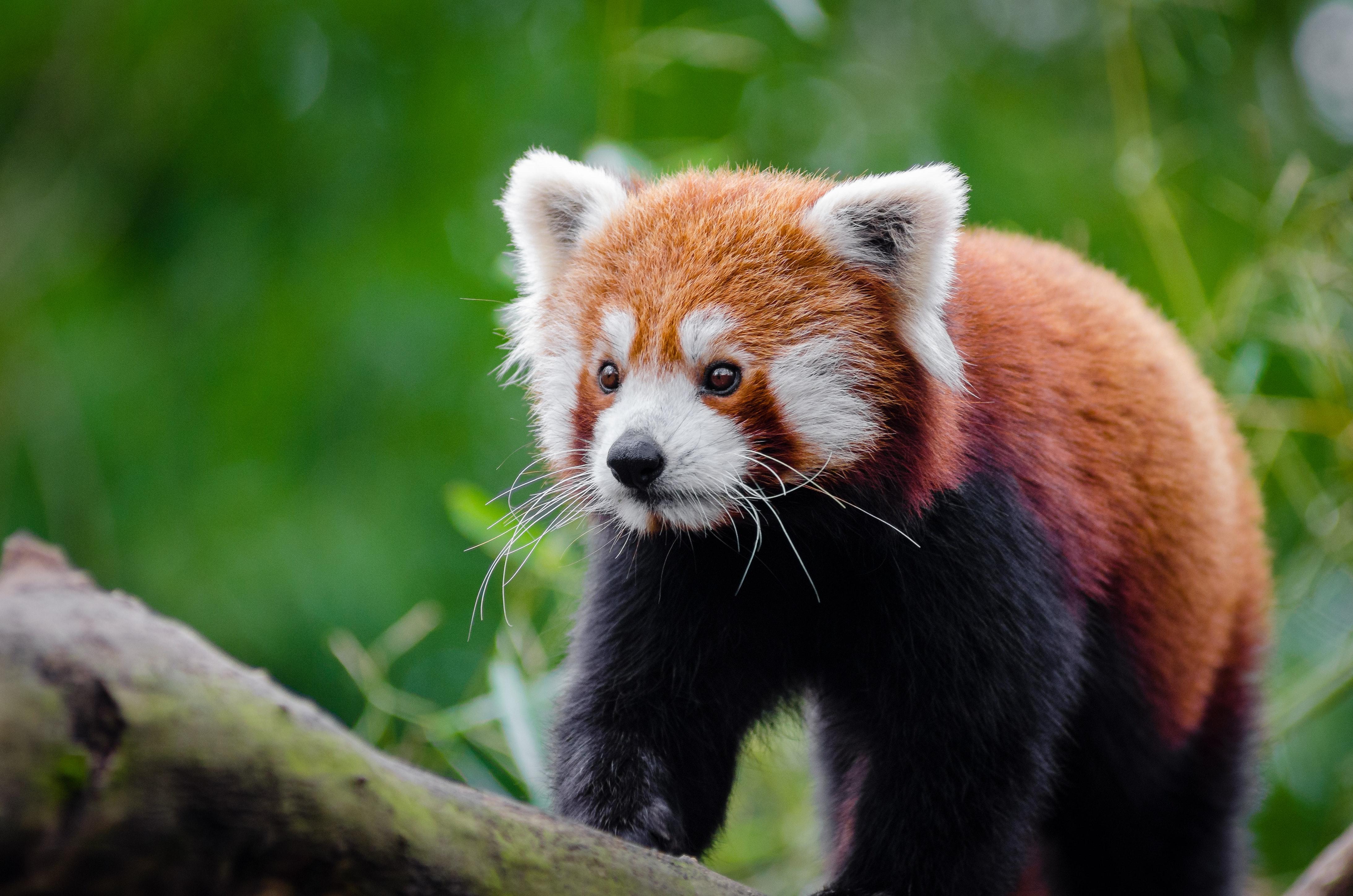 Red panda on brown wood photo
