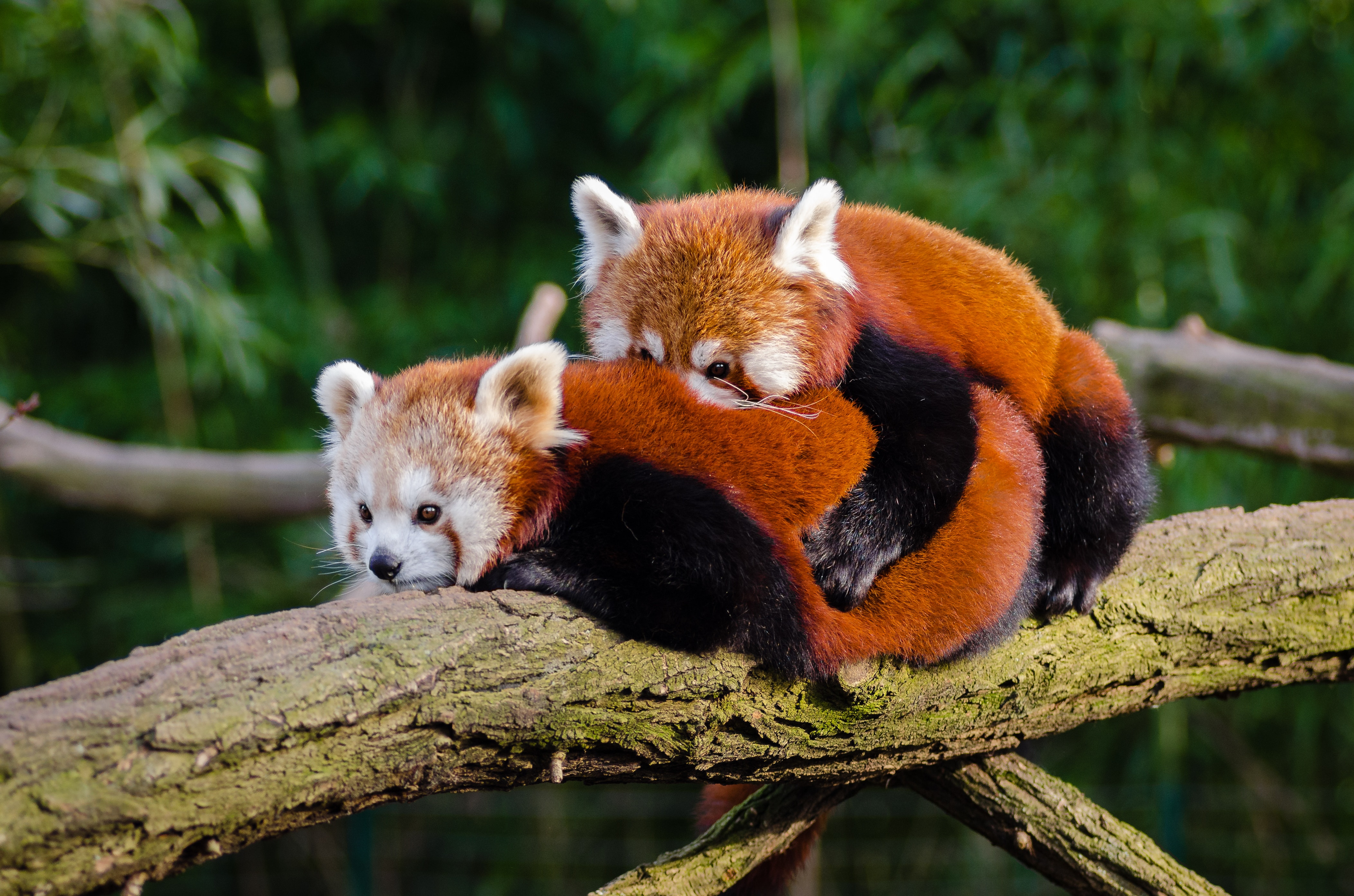 Red Pandas, Red panda, Outdoors, Tree, Tree branch, HQ Photo