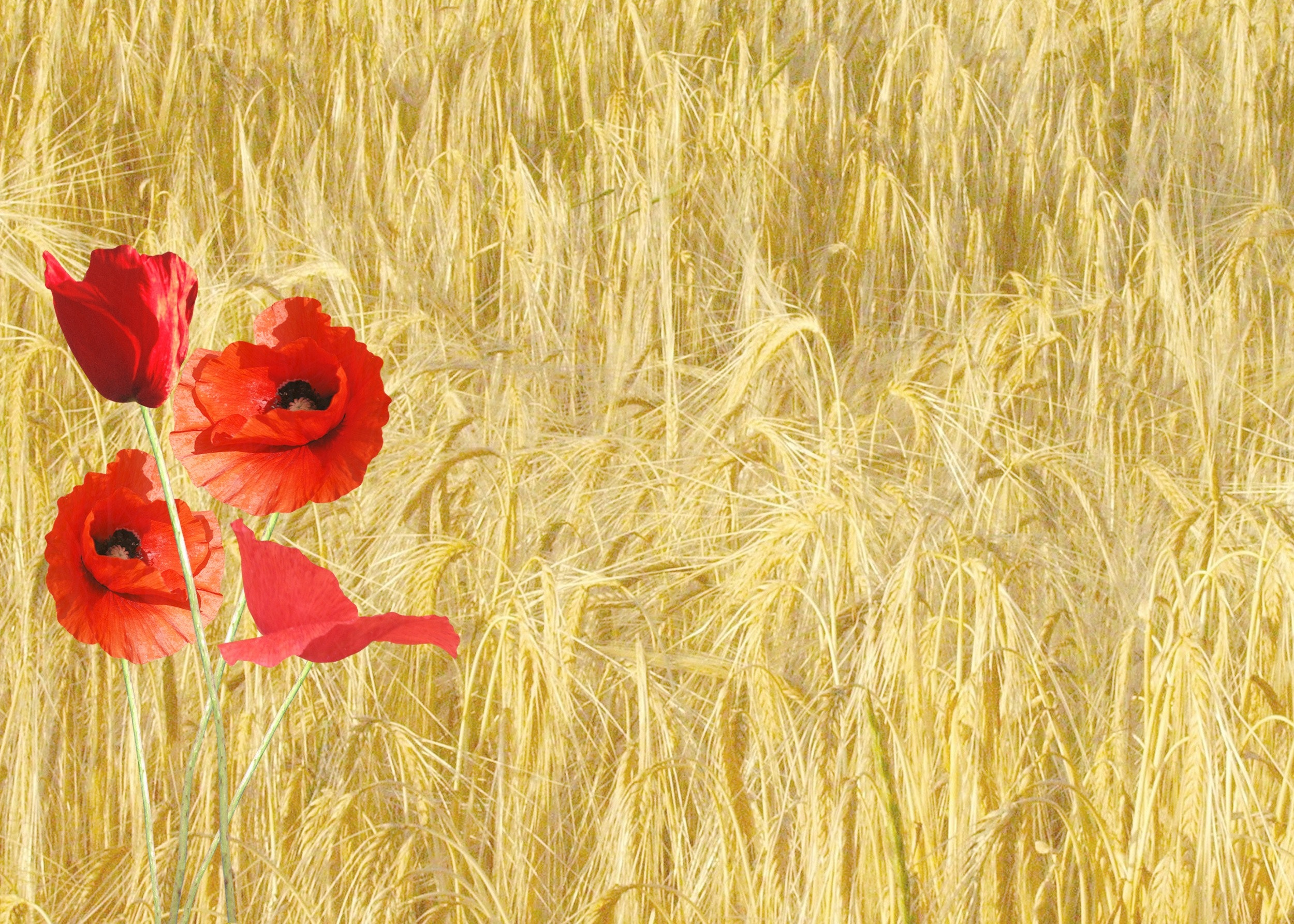 Red petaled flower near yellow grass during daytime photo