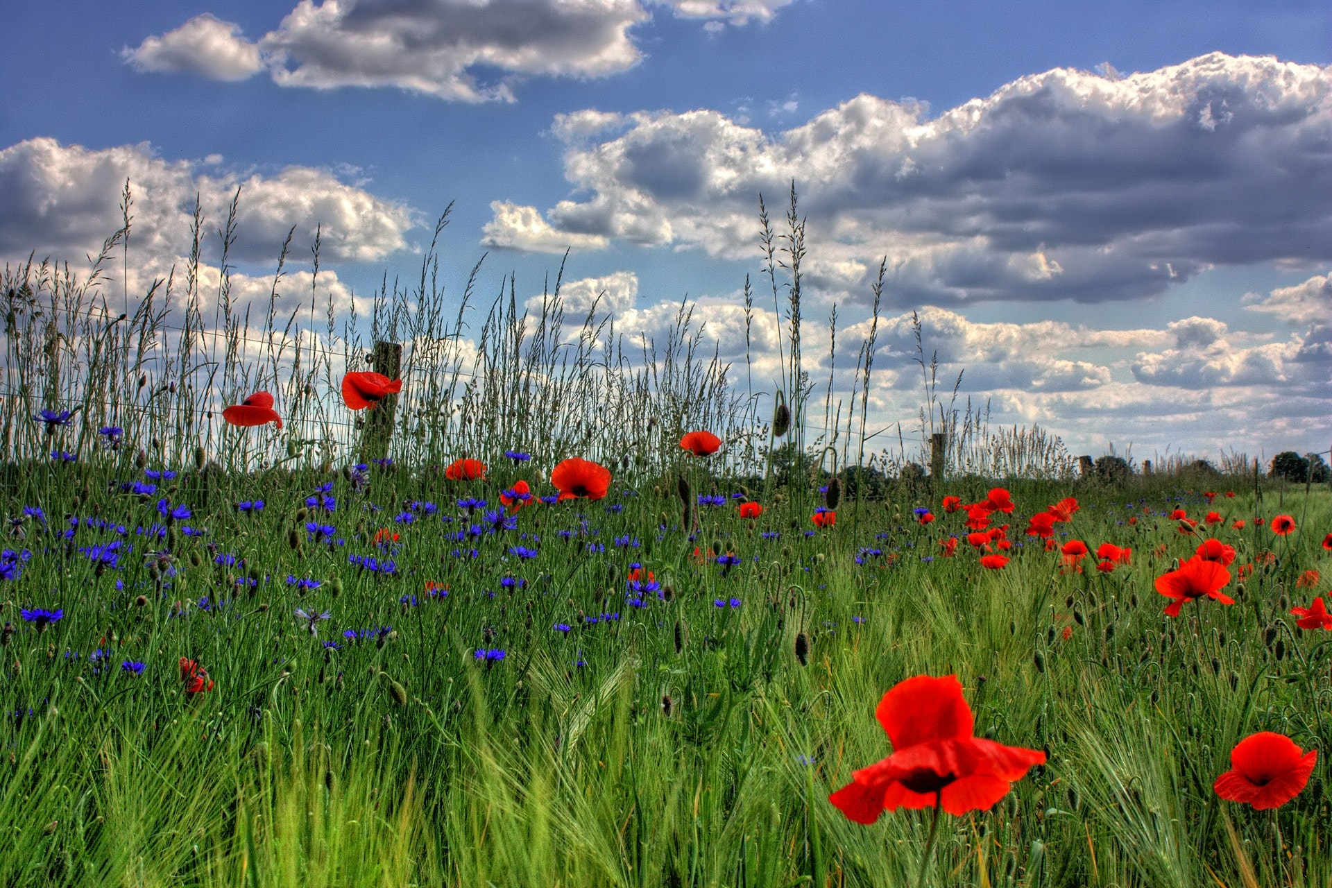 Red petaled flowers with blue petaled flowers on a field during daytime photo
