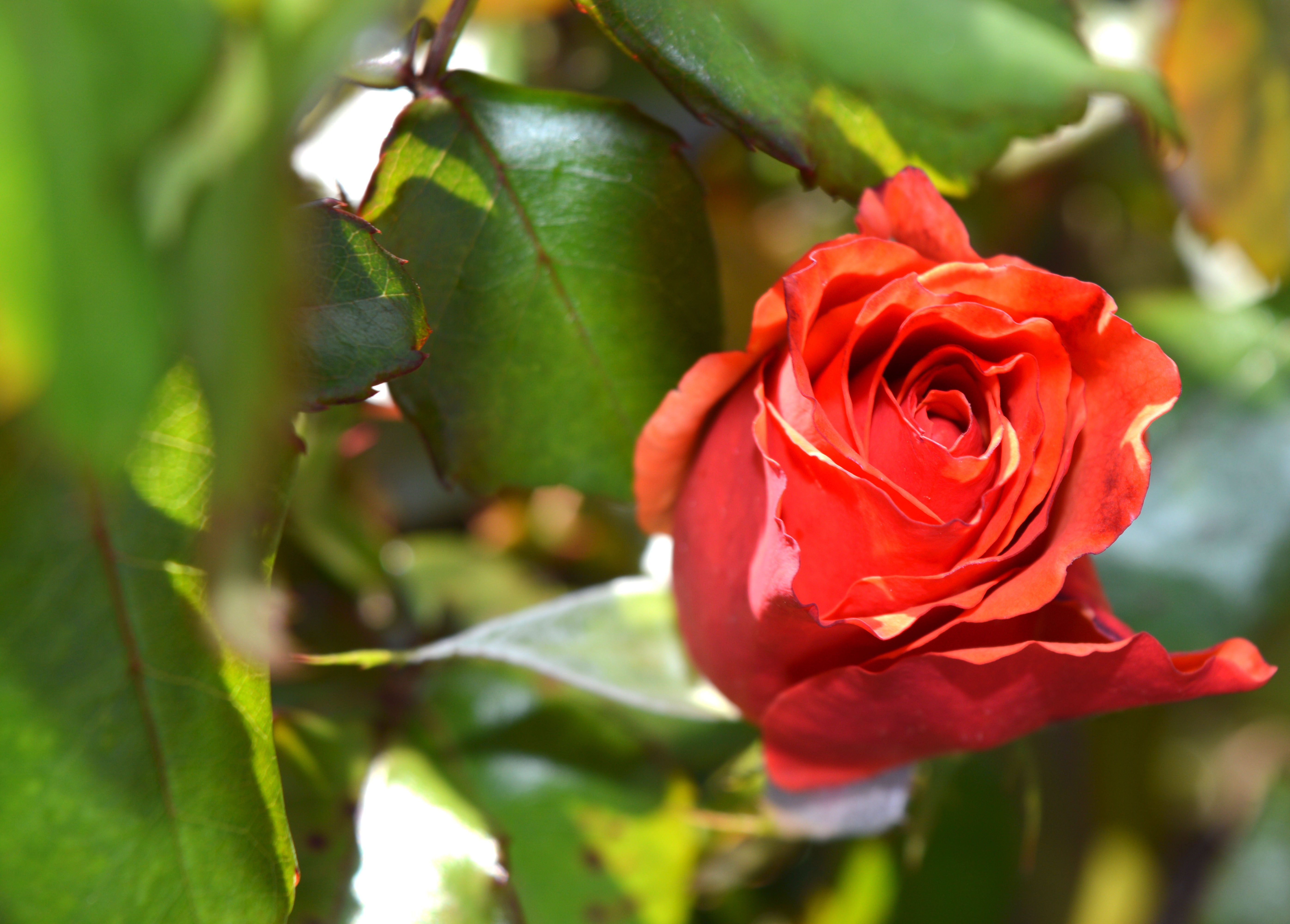 Red petaled rose photo
