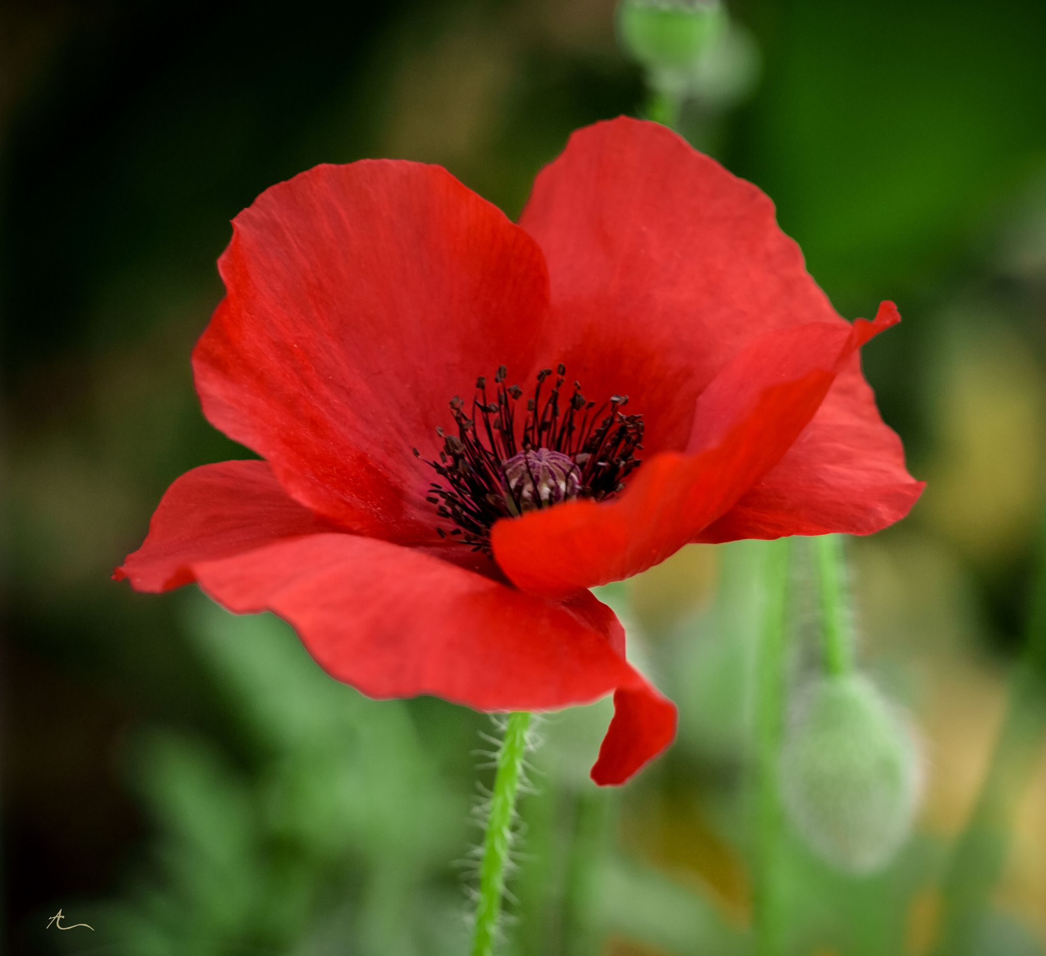 Free Photo Red Poppy Flower Red Summer Poppy Free Download