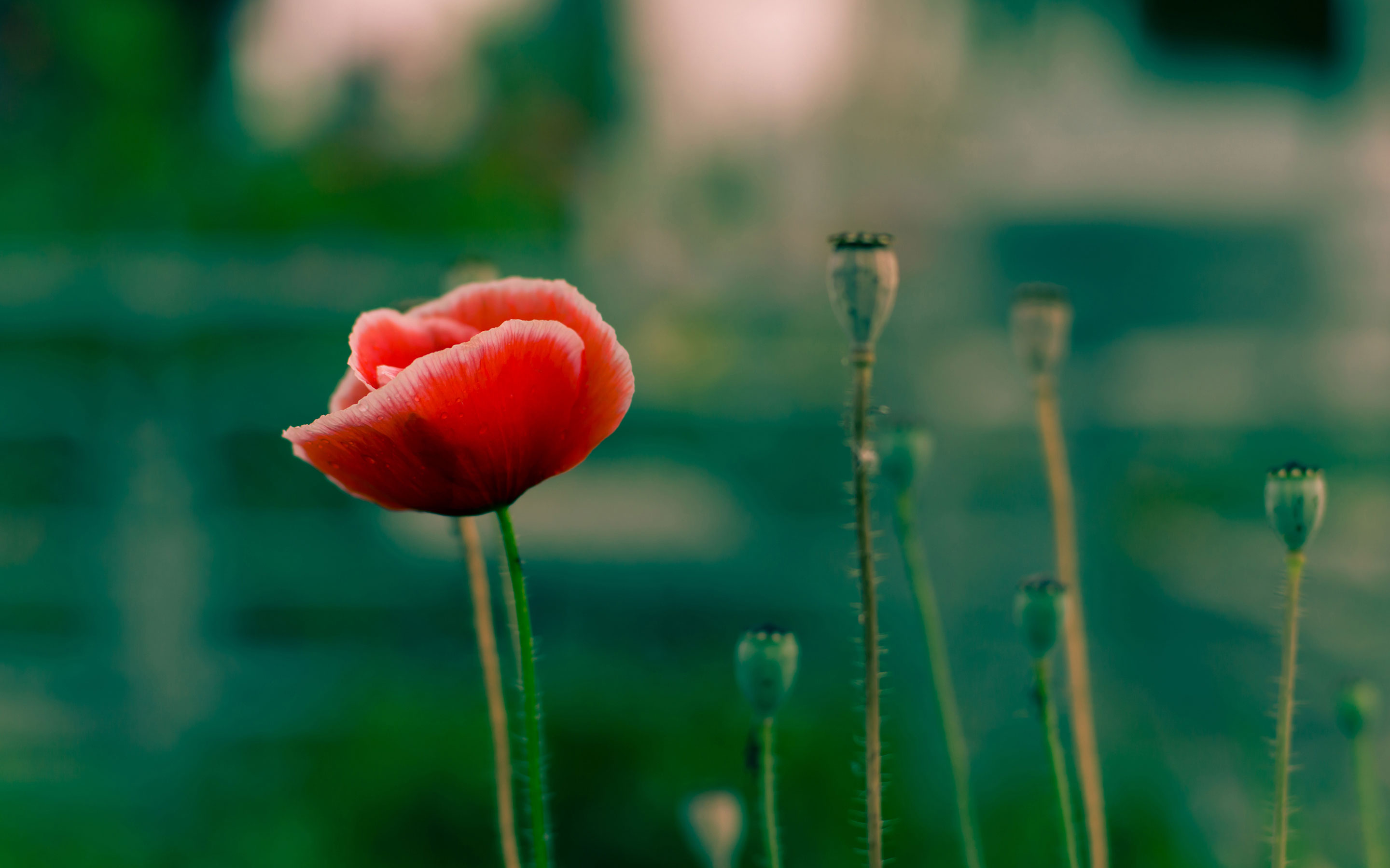 Red poppy flower photo