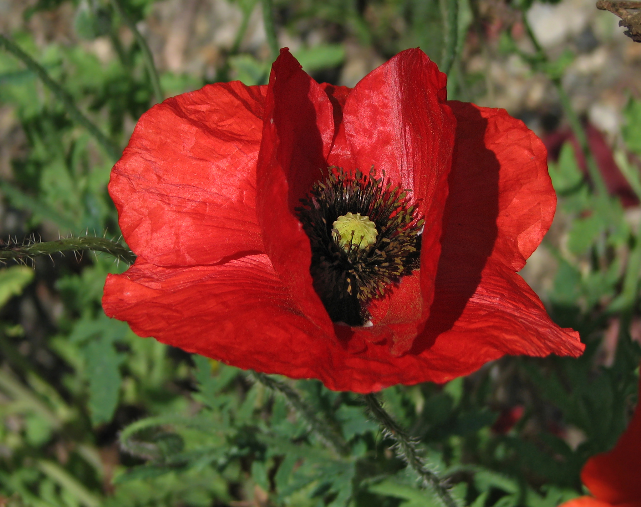 File:Red Poppy Papaver Flower Closeup 2049px.jpg - Wikimedia Commons