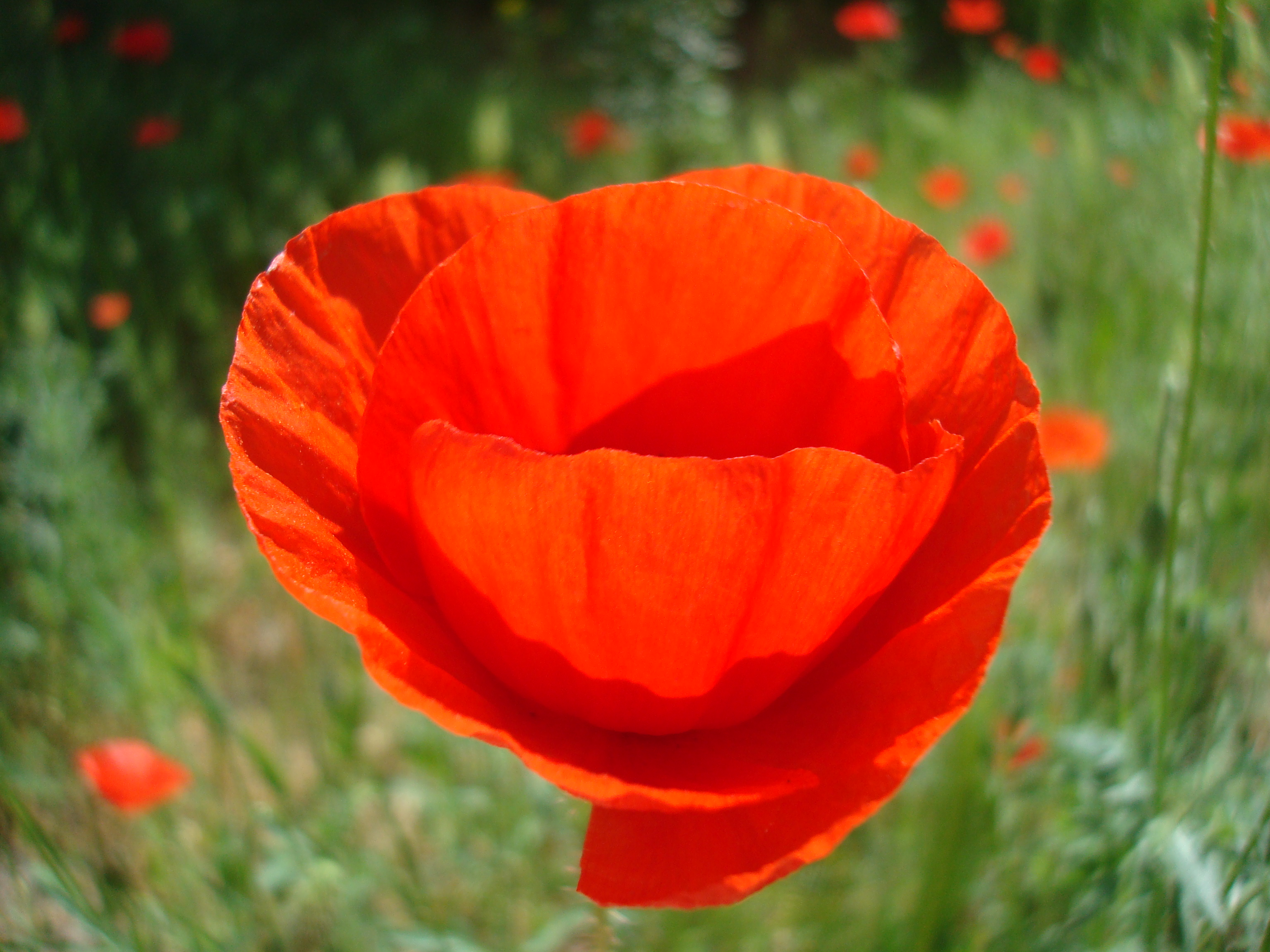 Red poppy flower, Wild, Outdoors, Wallpaper, Summer, HQ Photo