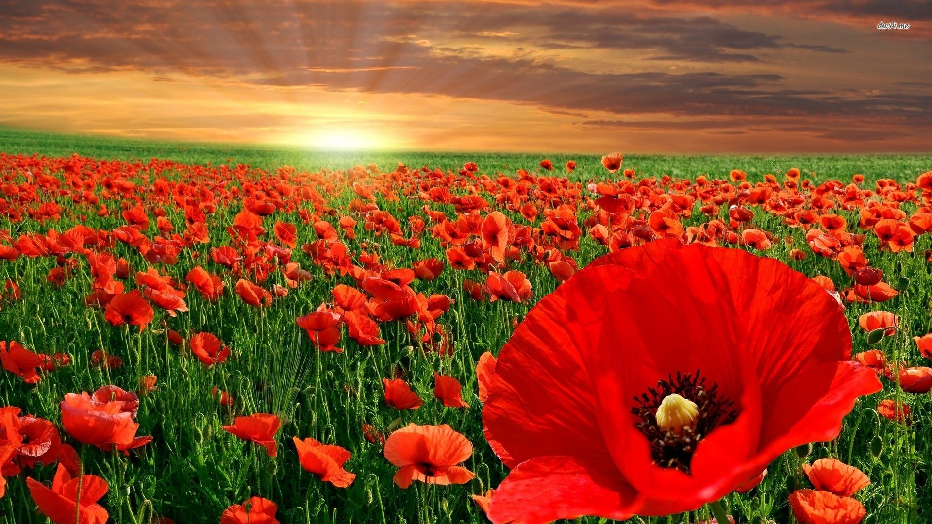 Red Poppy Flower Wallpaper | Backyard | Pinterest | Flower wallpaper ...