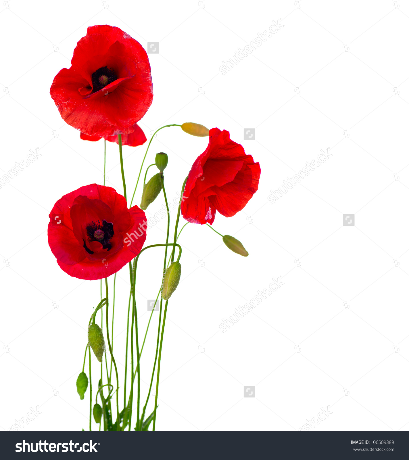Free Photo Red Poppy Flower Park Outdoors Nature Free