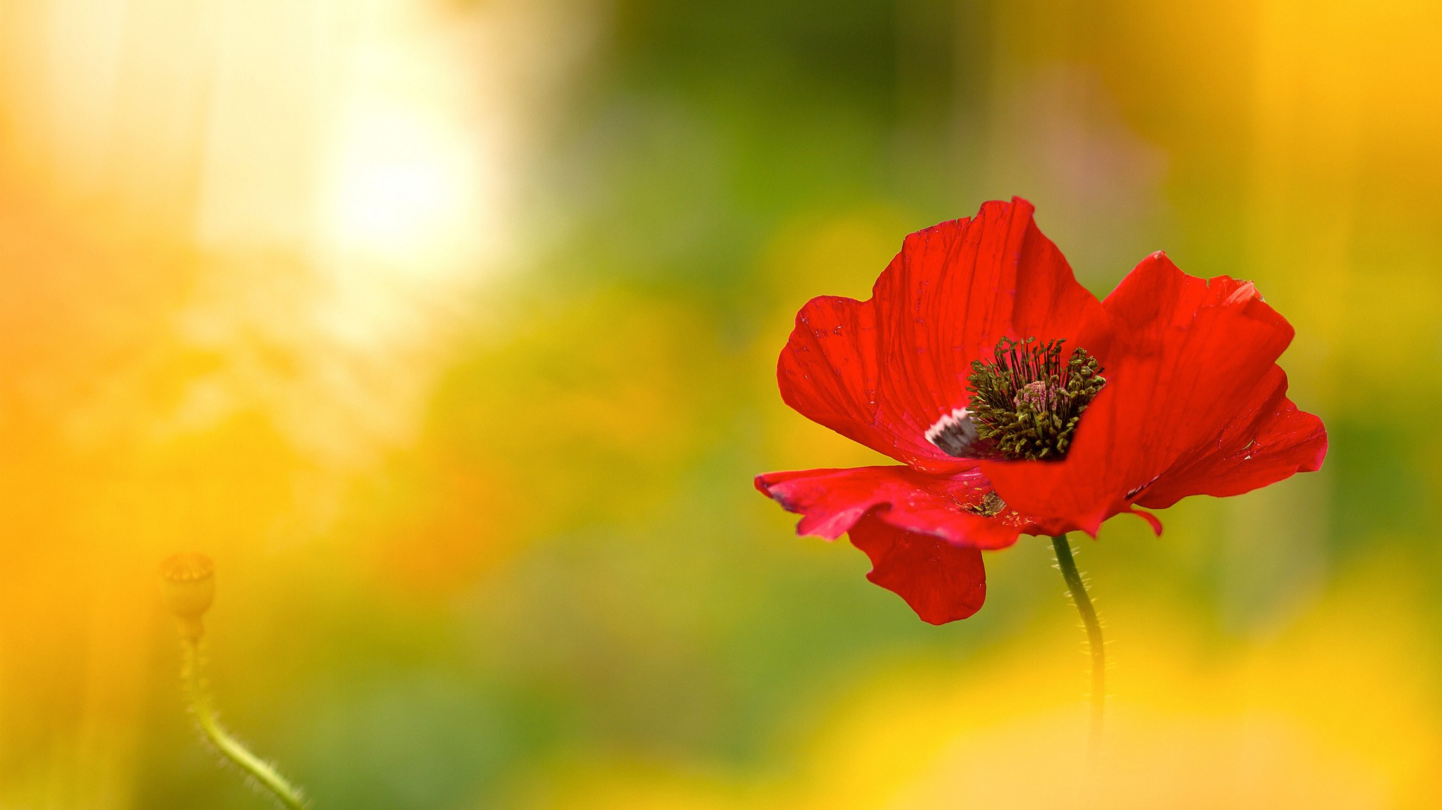 Free Photo Red Poppy Flower Poppy Red Park Free Download Jooinn