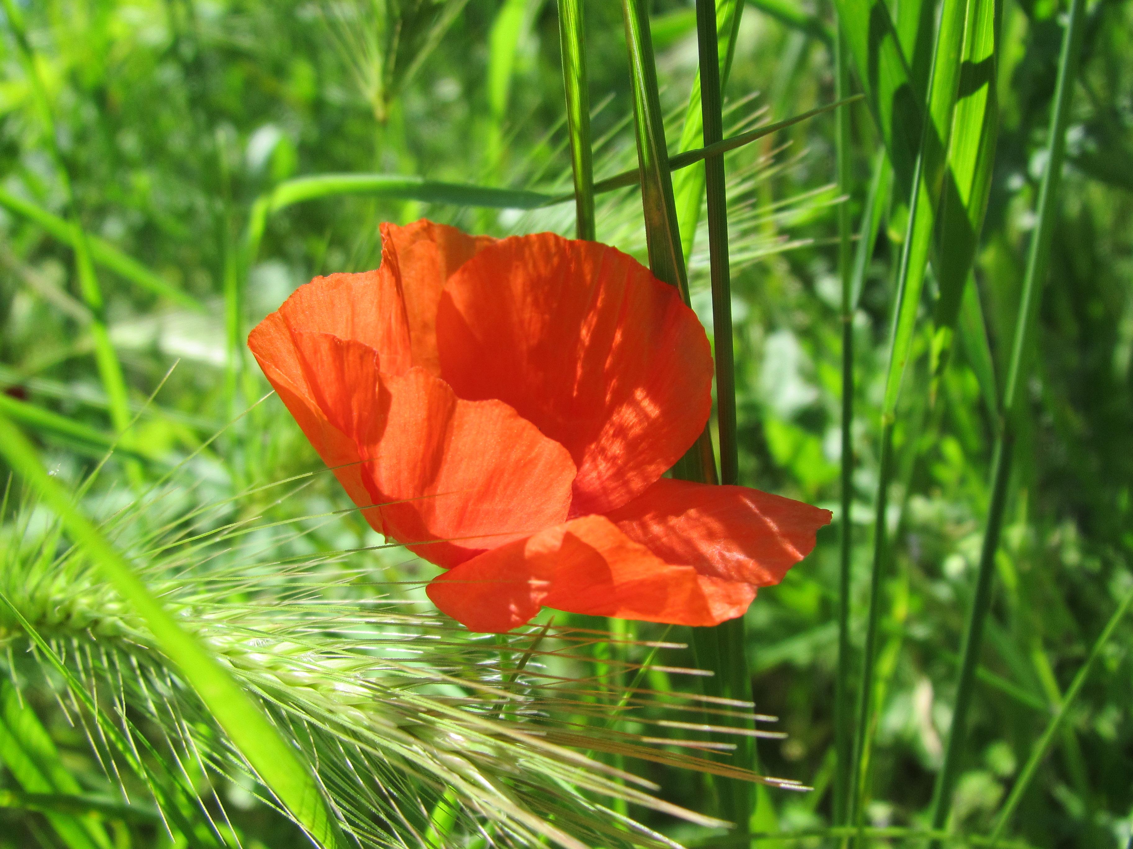 Free Photo Red Poppy Flower Poppy Red Park Free Download Jooinn