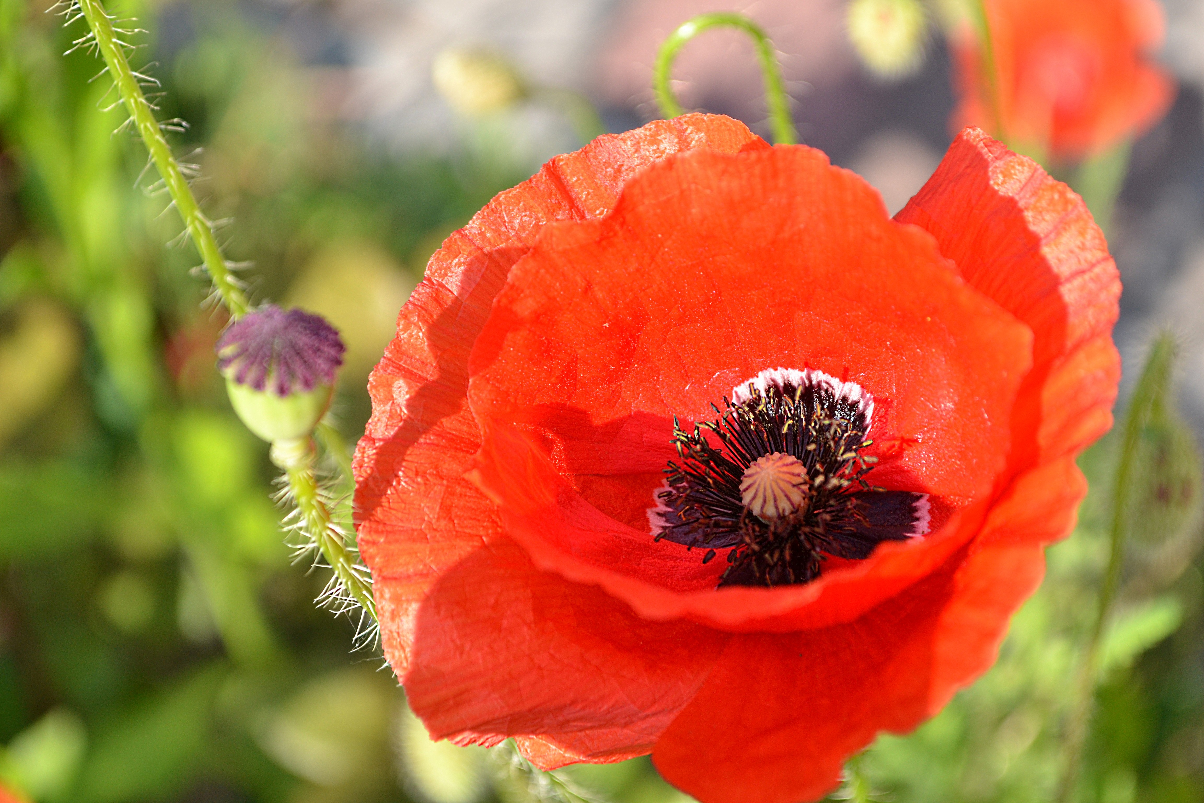Free photo red poppy flower red summer poppy non commercial red poppy flower mightylinksfo Images