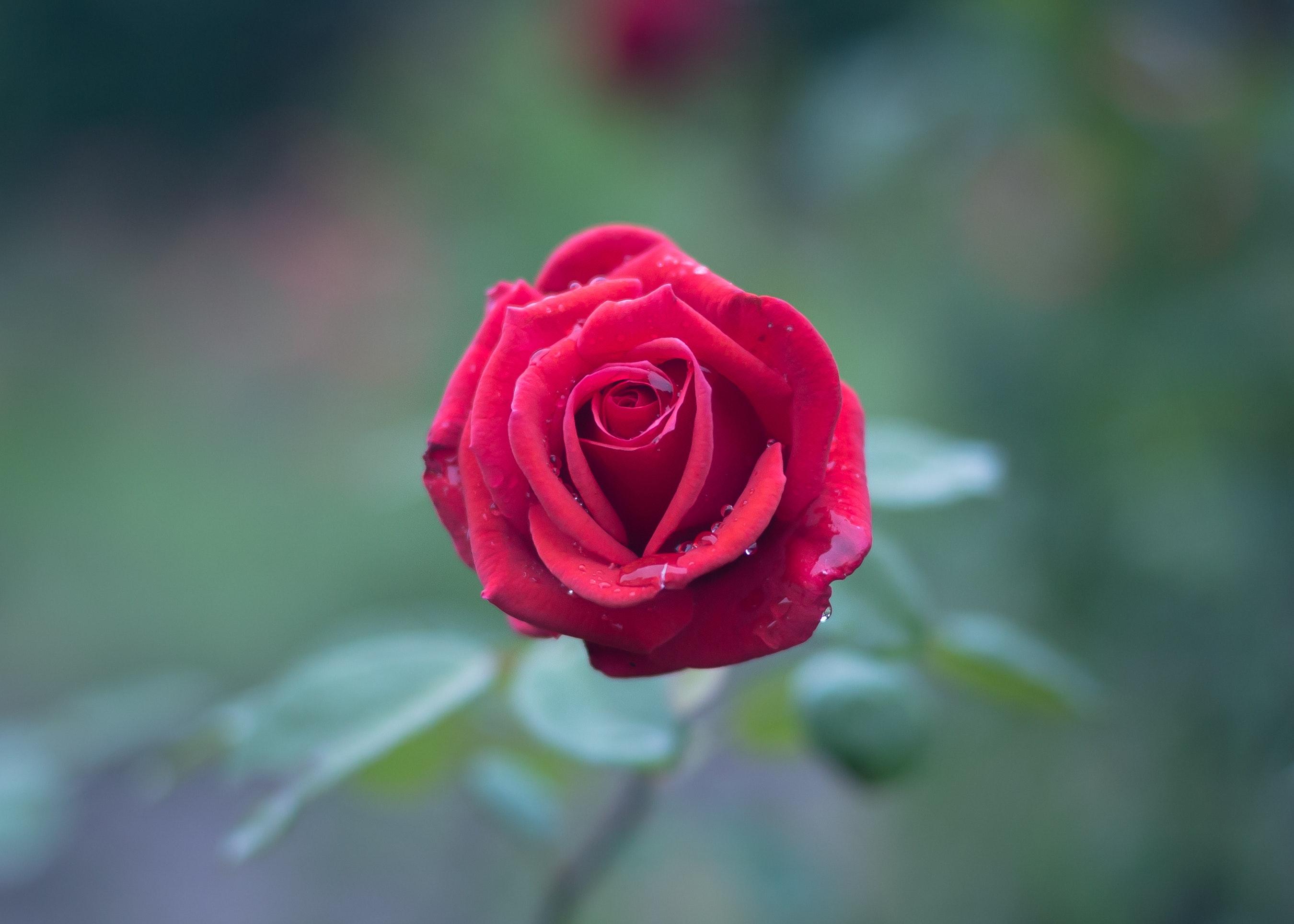 Red Rose, Macro, Rose, Petals, Flower, HQ Photo