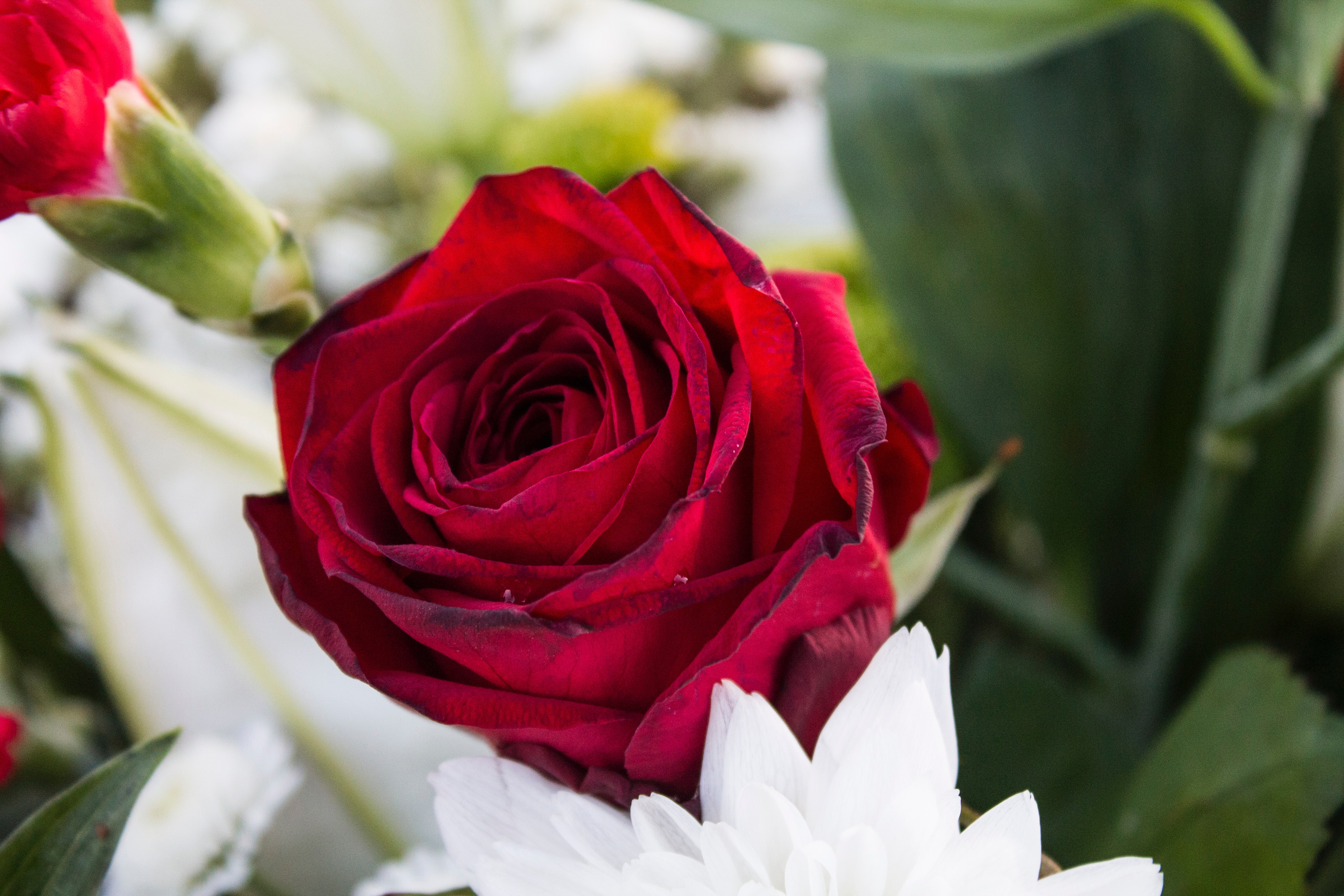 Free Photo Red Rose Red Valentine Rose Free Download Jooinn