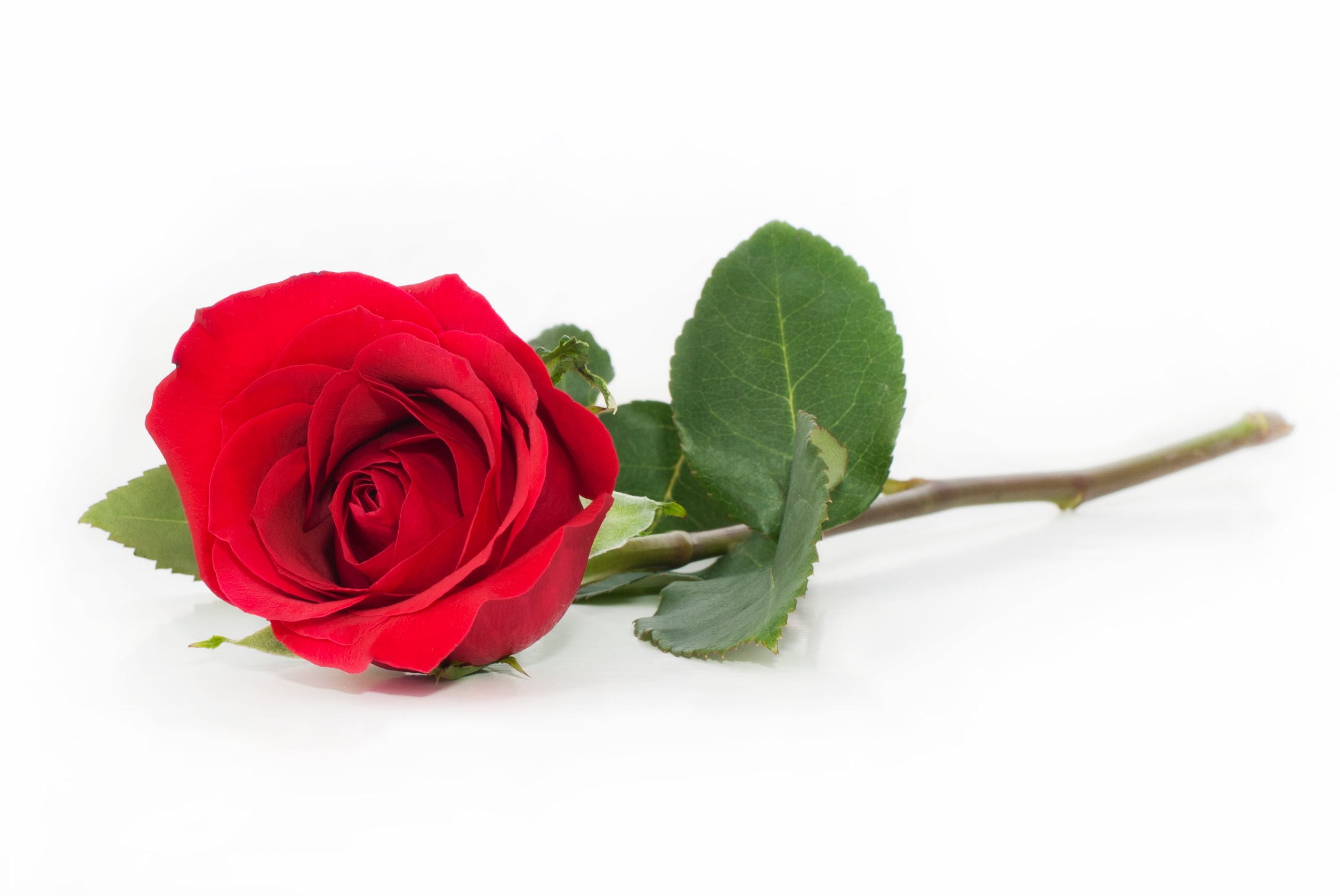 Free Photo Red Rose Red Romantic Petals Free Download Jooinn