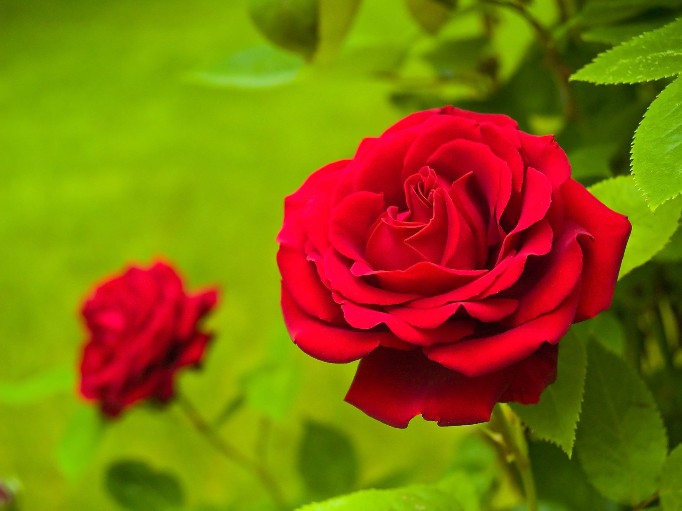 Red Rose Day | Days Of The Year