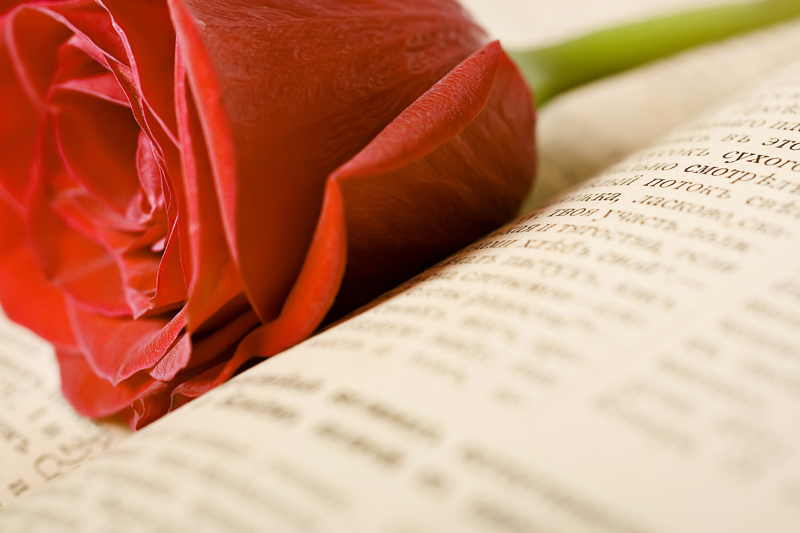 Red rose, 14, Red, Read, Prayer, HQ Photo