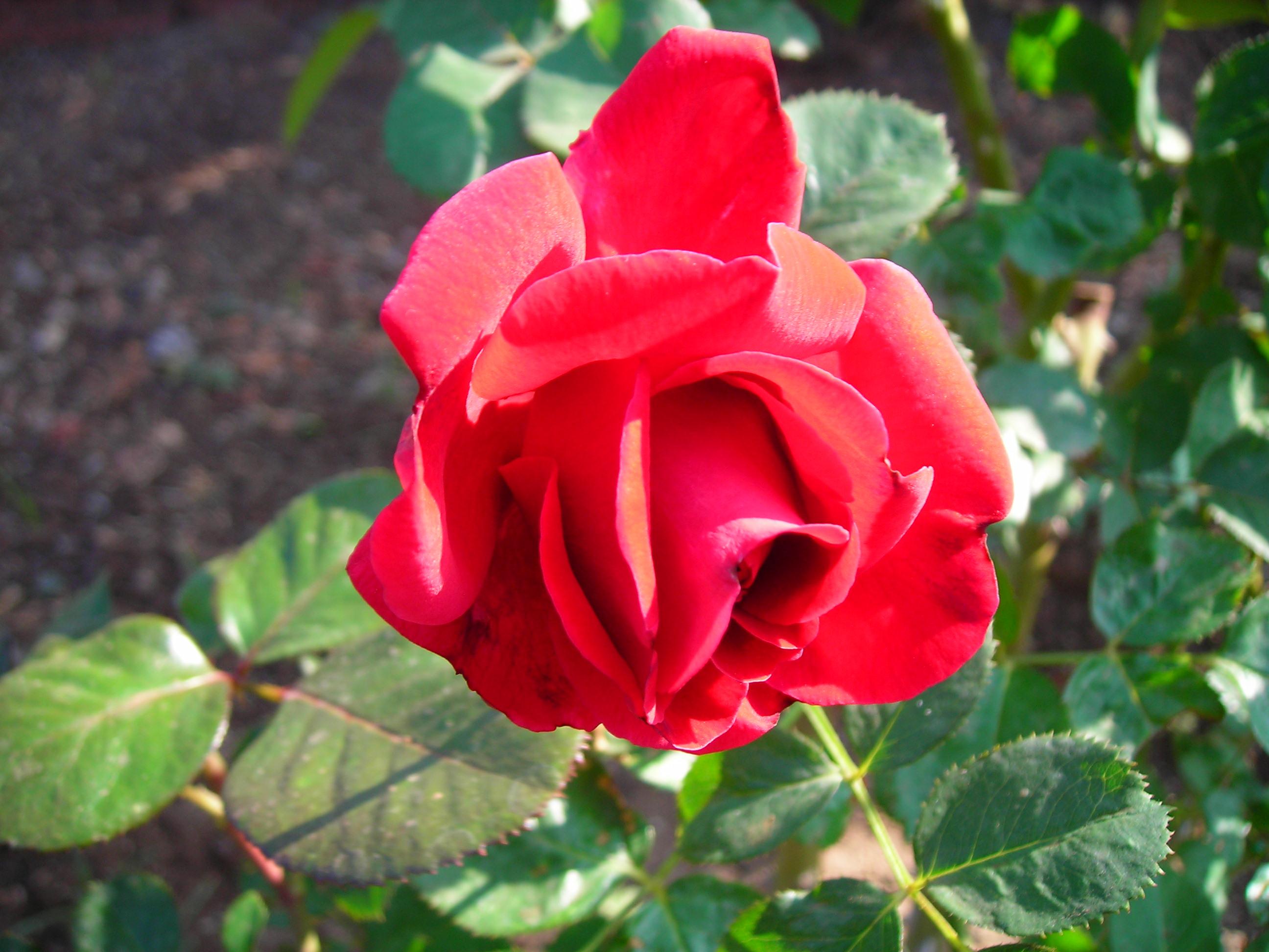 File:Red rose.JPG - Wikipedia