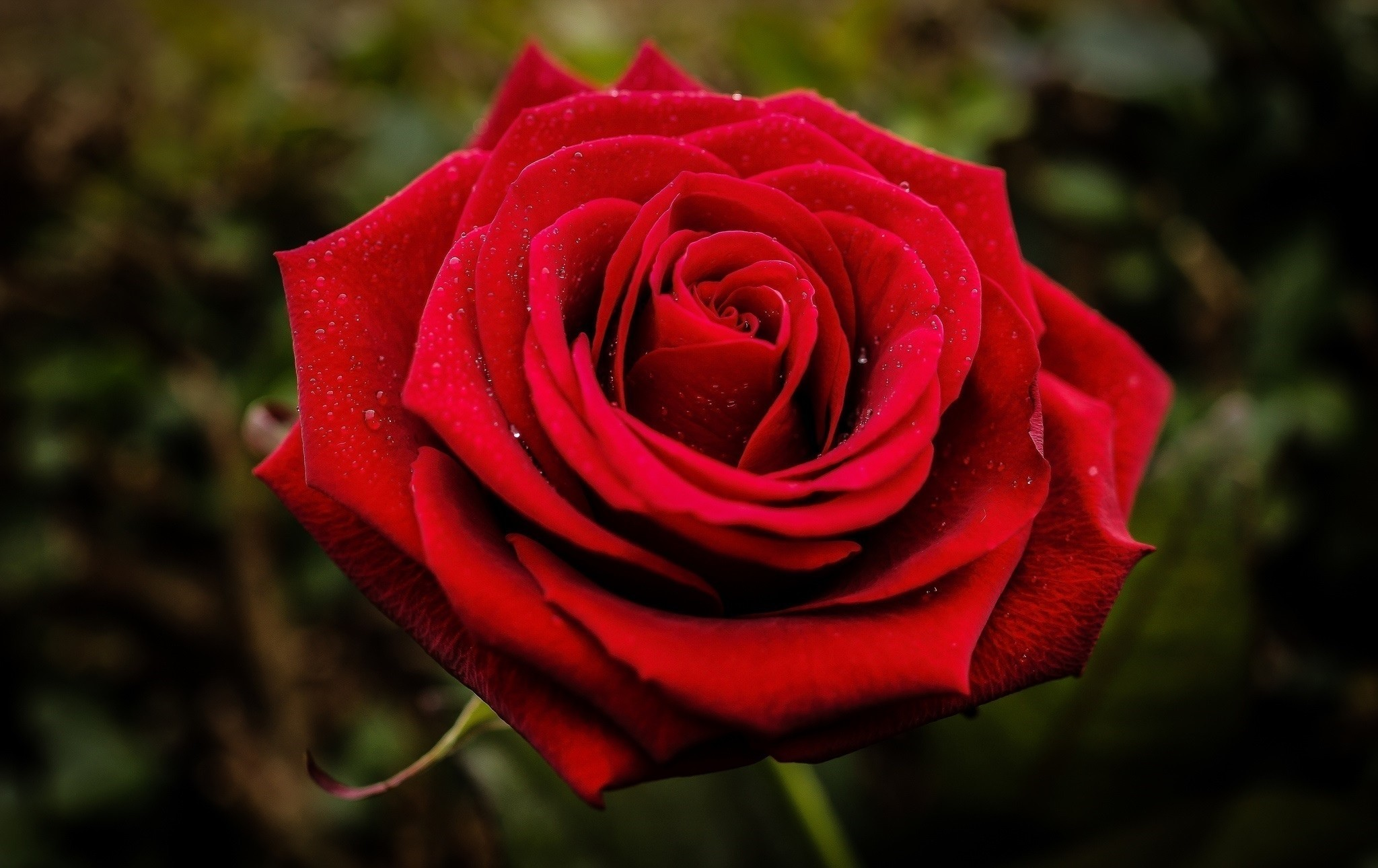 Flowers: Beautiful Rose Closeup Red Flower Hd Wallpaper Download ...