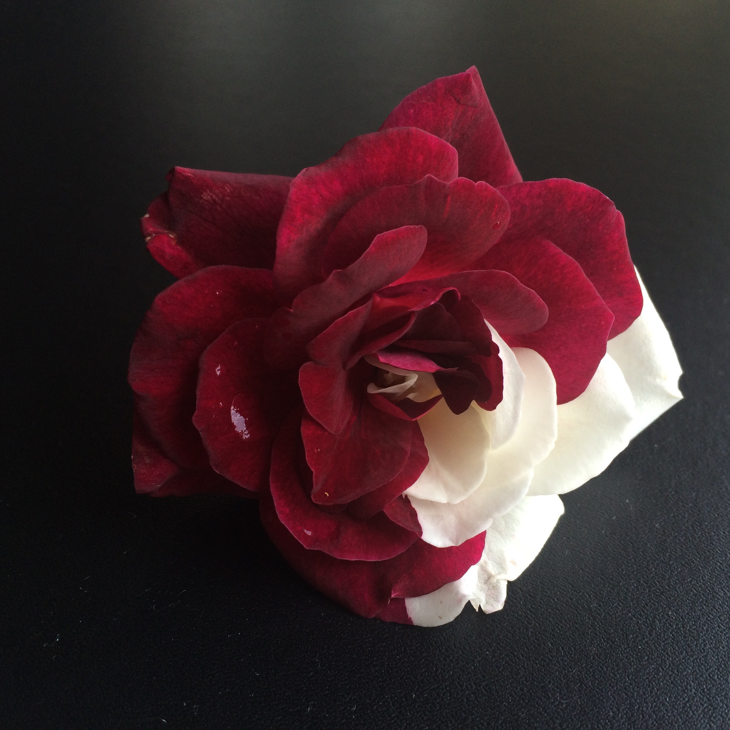Half red, half white rose - Ask an Expert