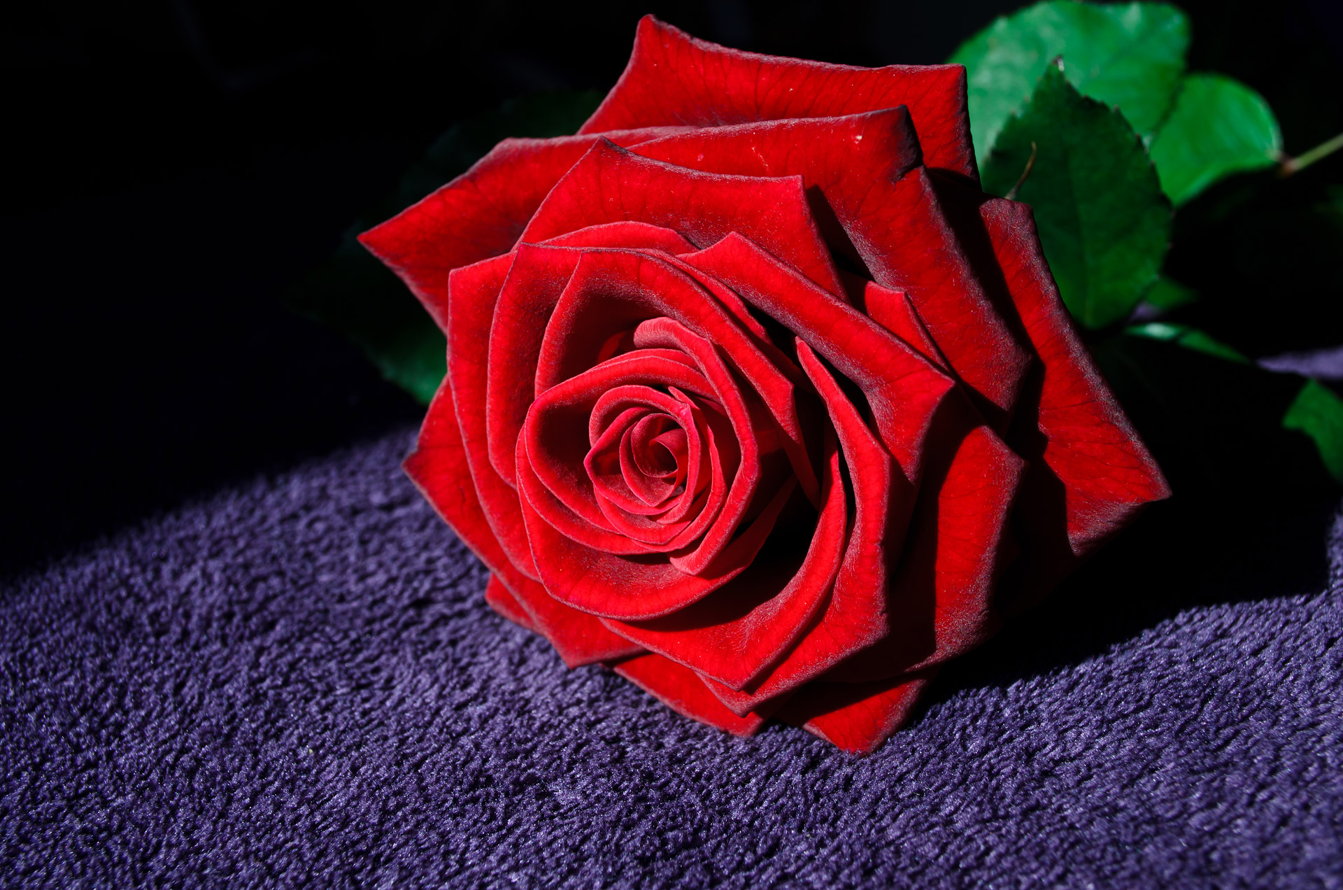 Red Rose Free Stock Photo - Public Domain Pictures