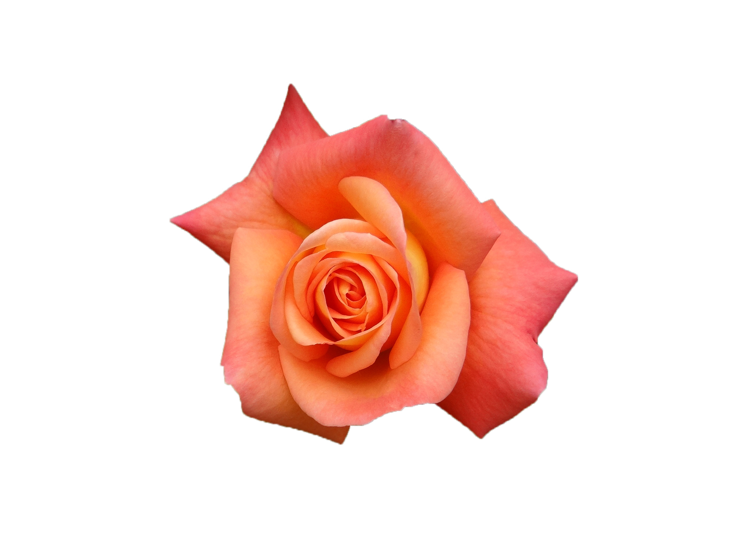 Red rose, Flower, Red, Rose, HQ Photo