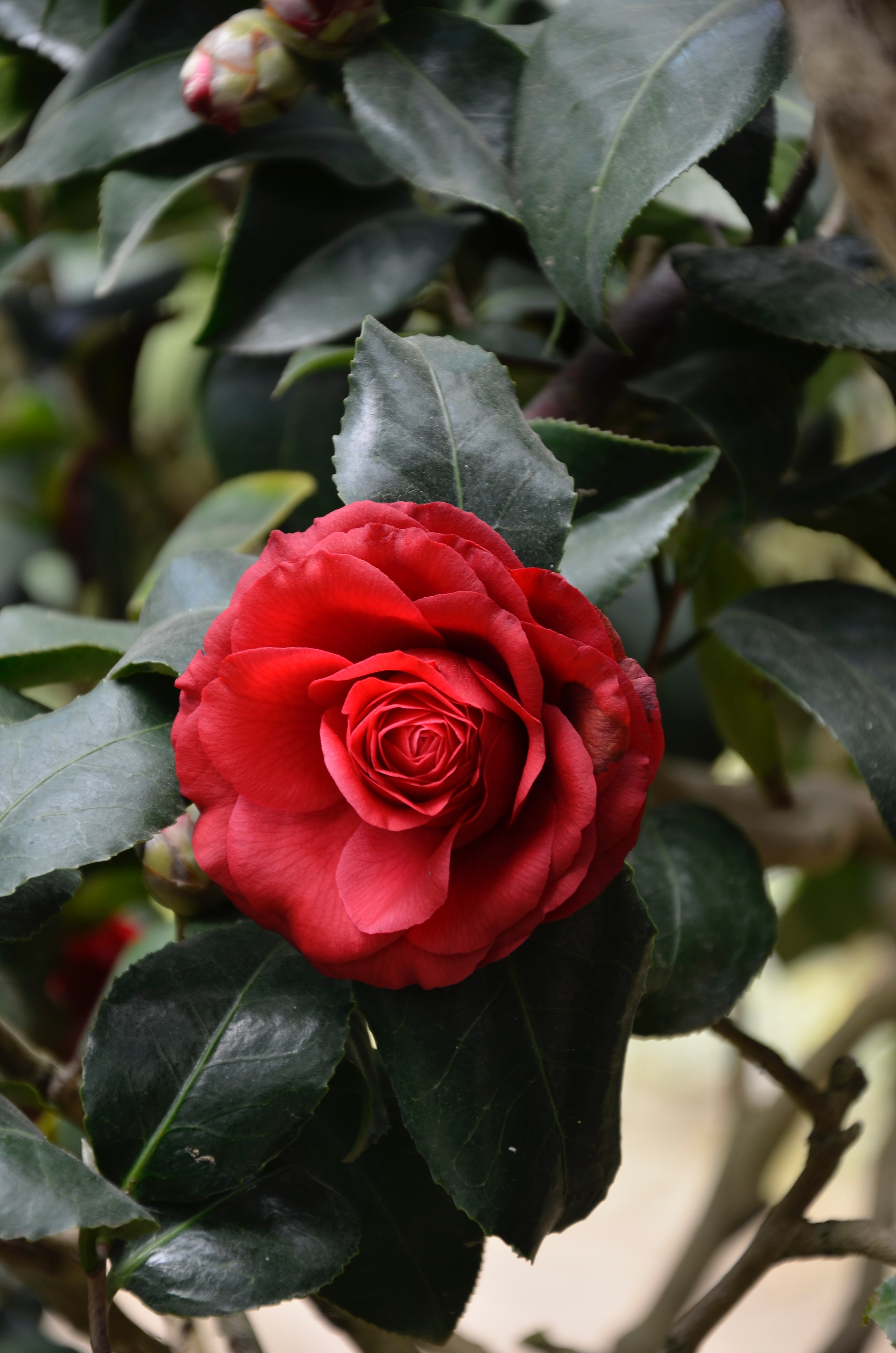 Red Rose Bush One Rose, Beauty, Nature, Spring, Rose, HQ Photo