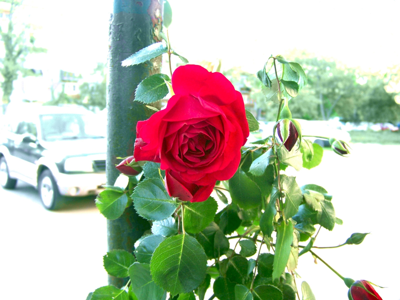 Red rose near a parking lot photo