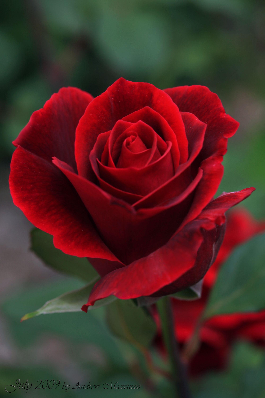 Resultado de imagem para red rose photography | Róże | Pinterest ...