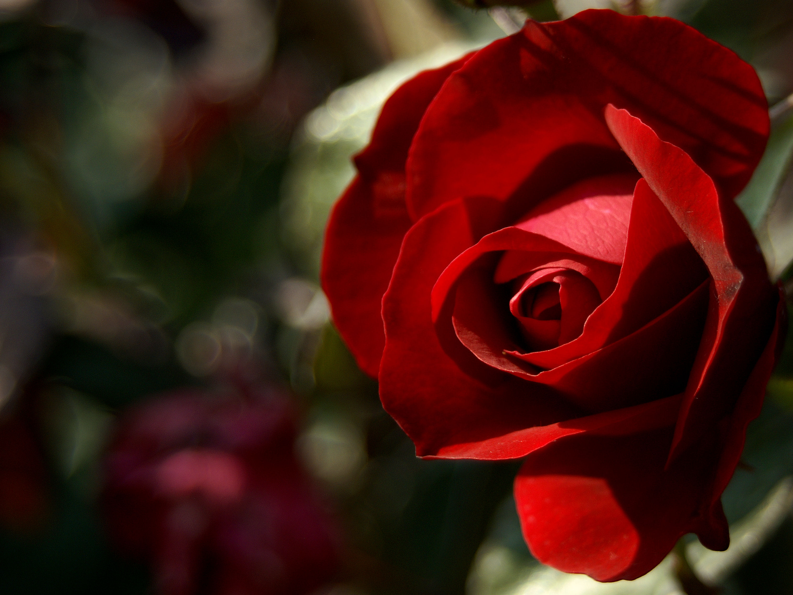 Red Rose Bokeh – Seeking the Beautiful in Life