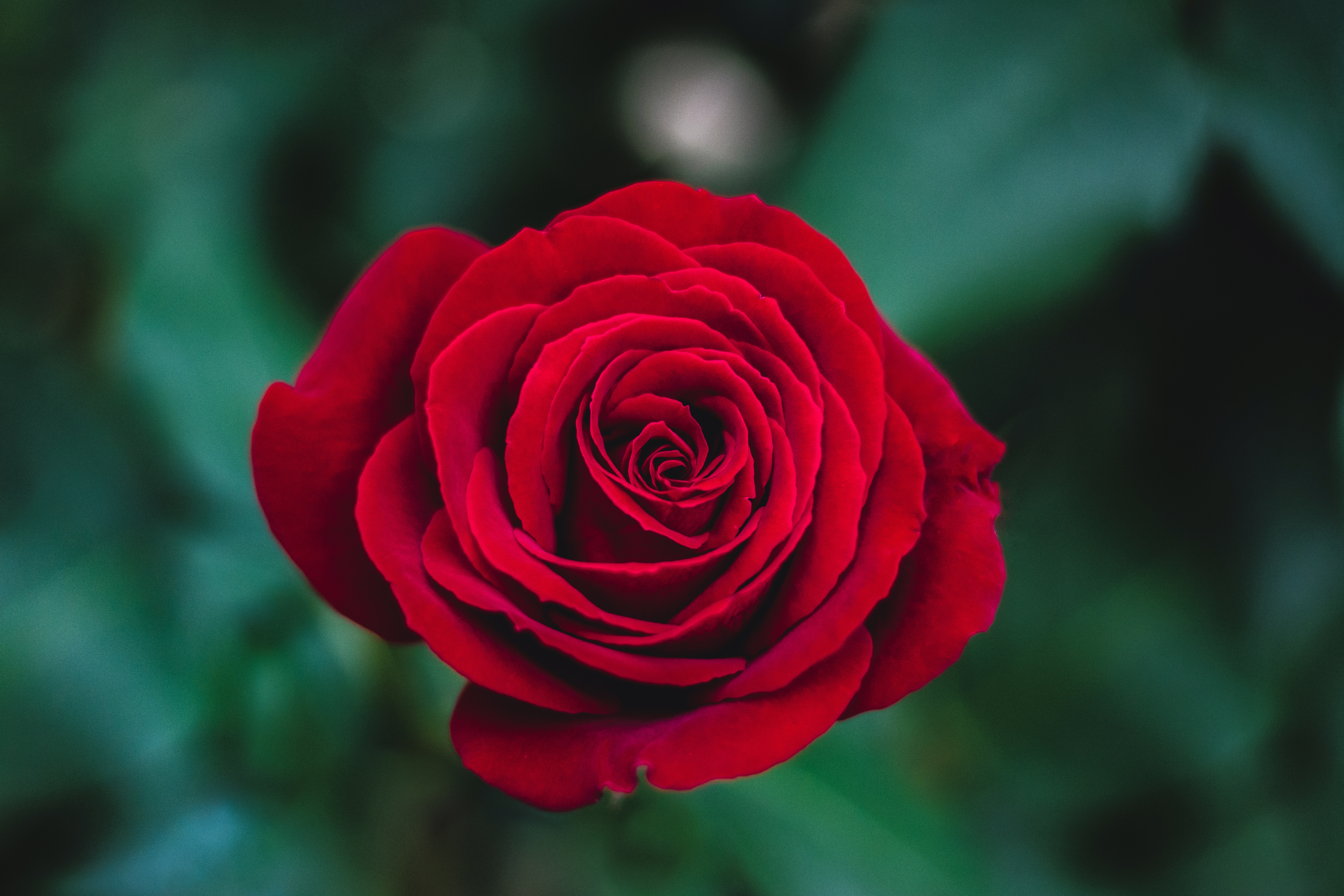 Red roses - the universal language of love - Stiga