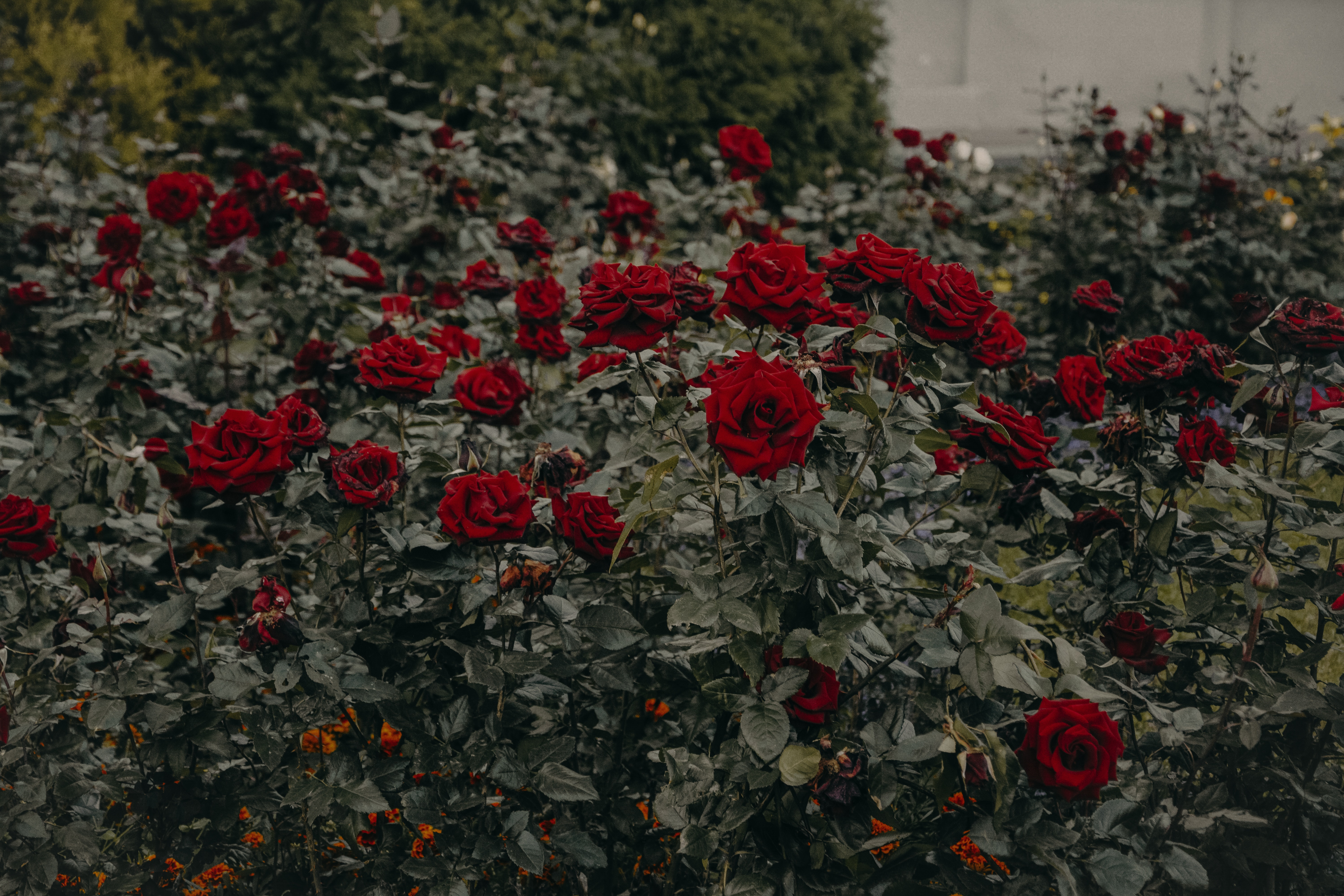 Red Roses, Landscape, Growth, Garden, Peonies, HQ Photo