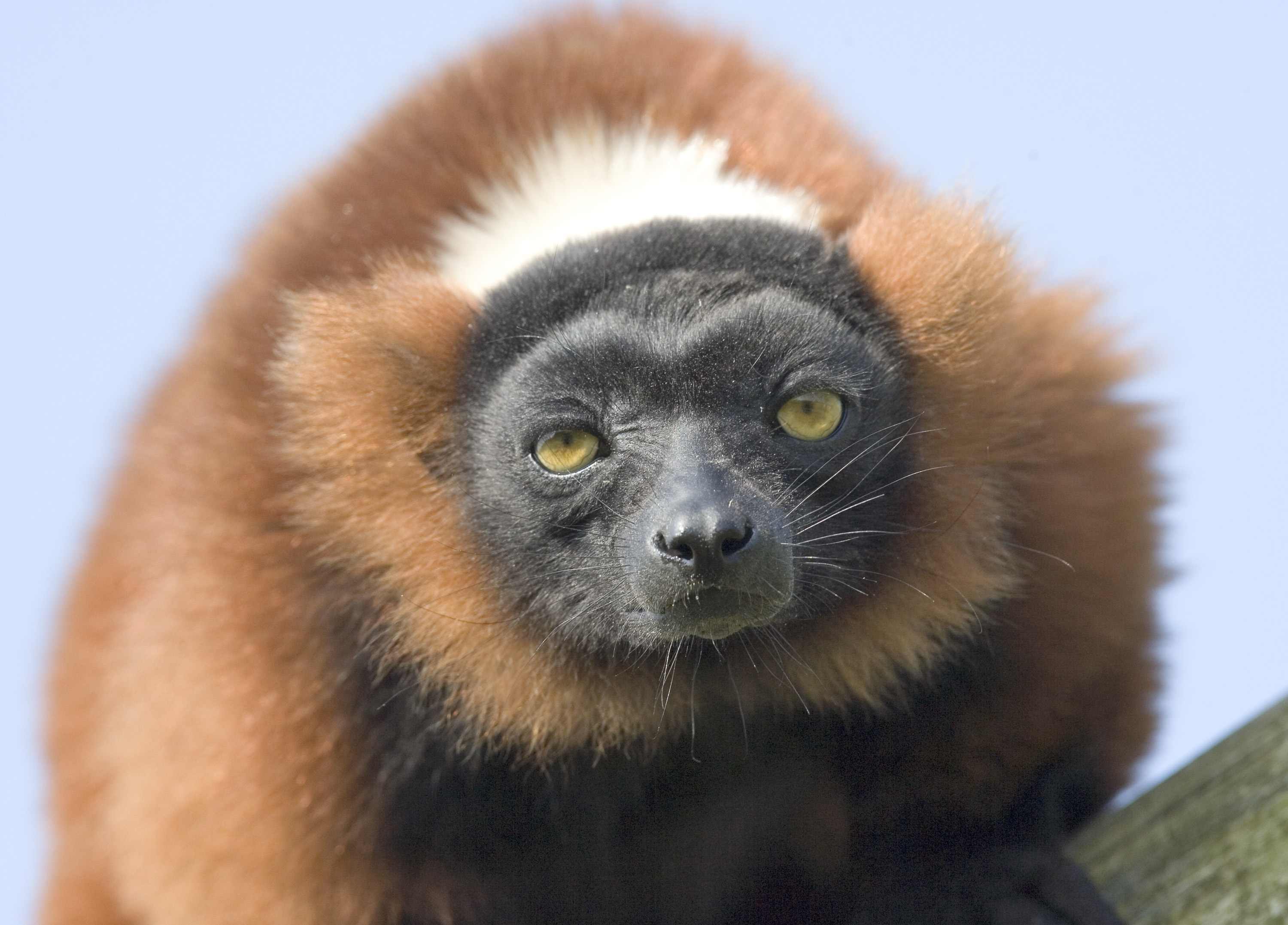 Red ruffed lemur photo