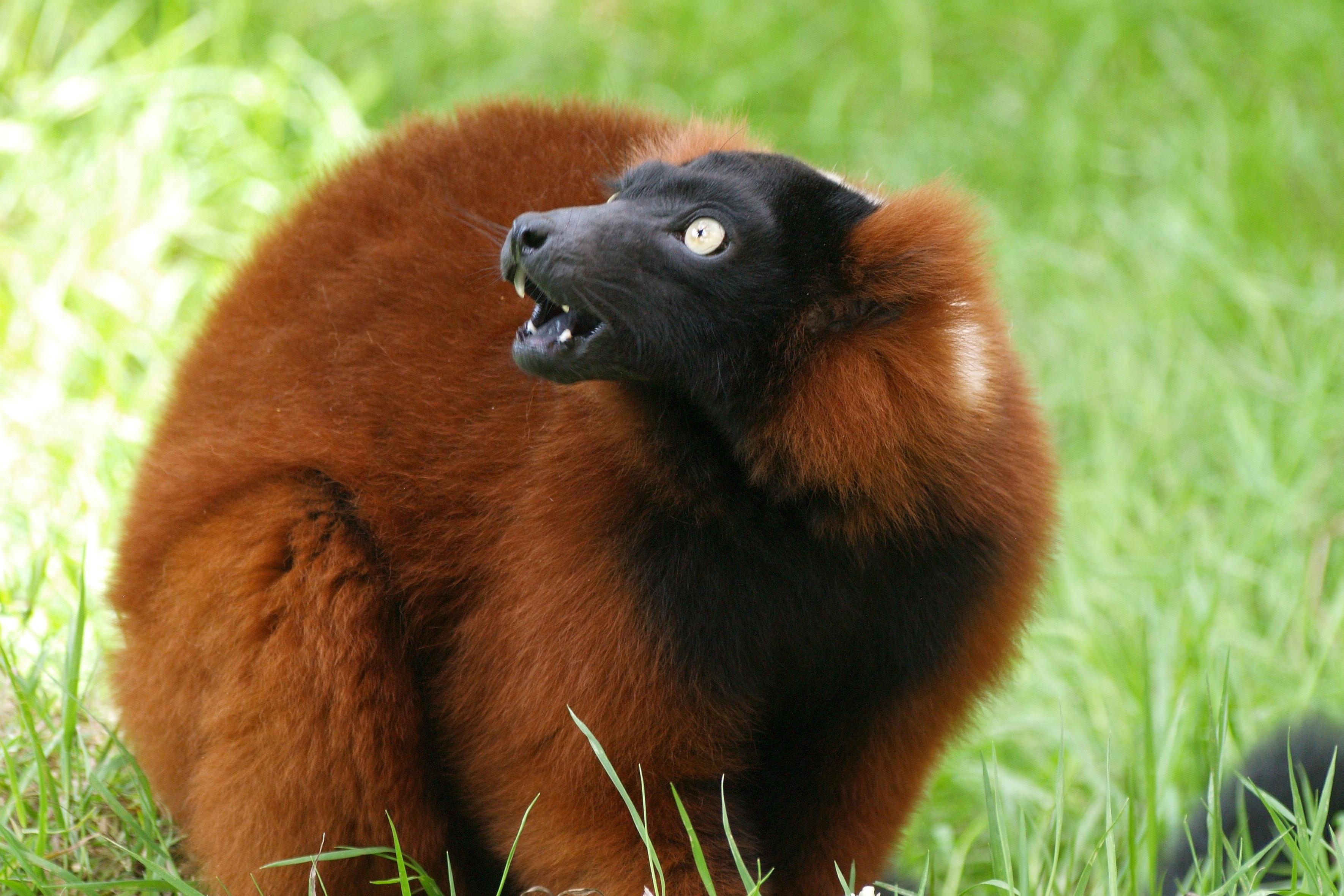 Red ruffed lemur photo
