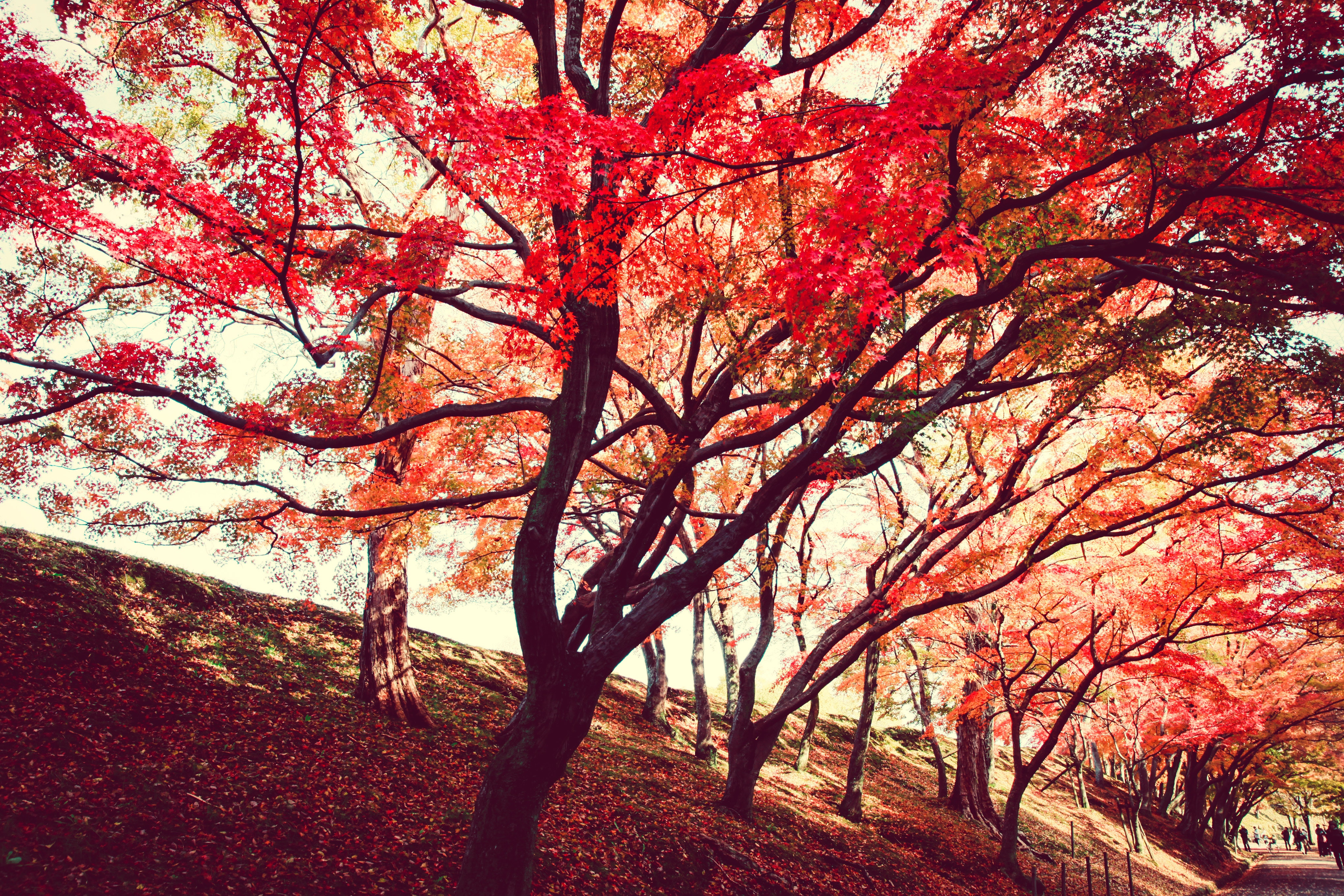 Red Trees, Park, Outdoors, Nature, Pathway, HQ Photo