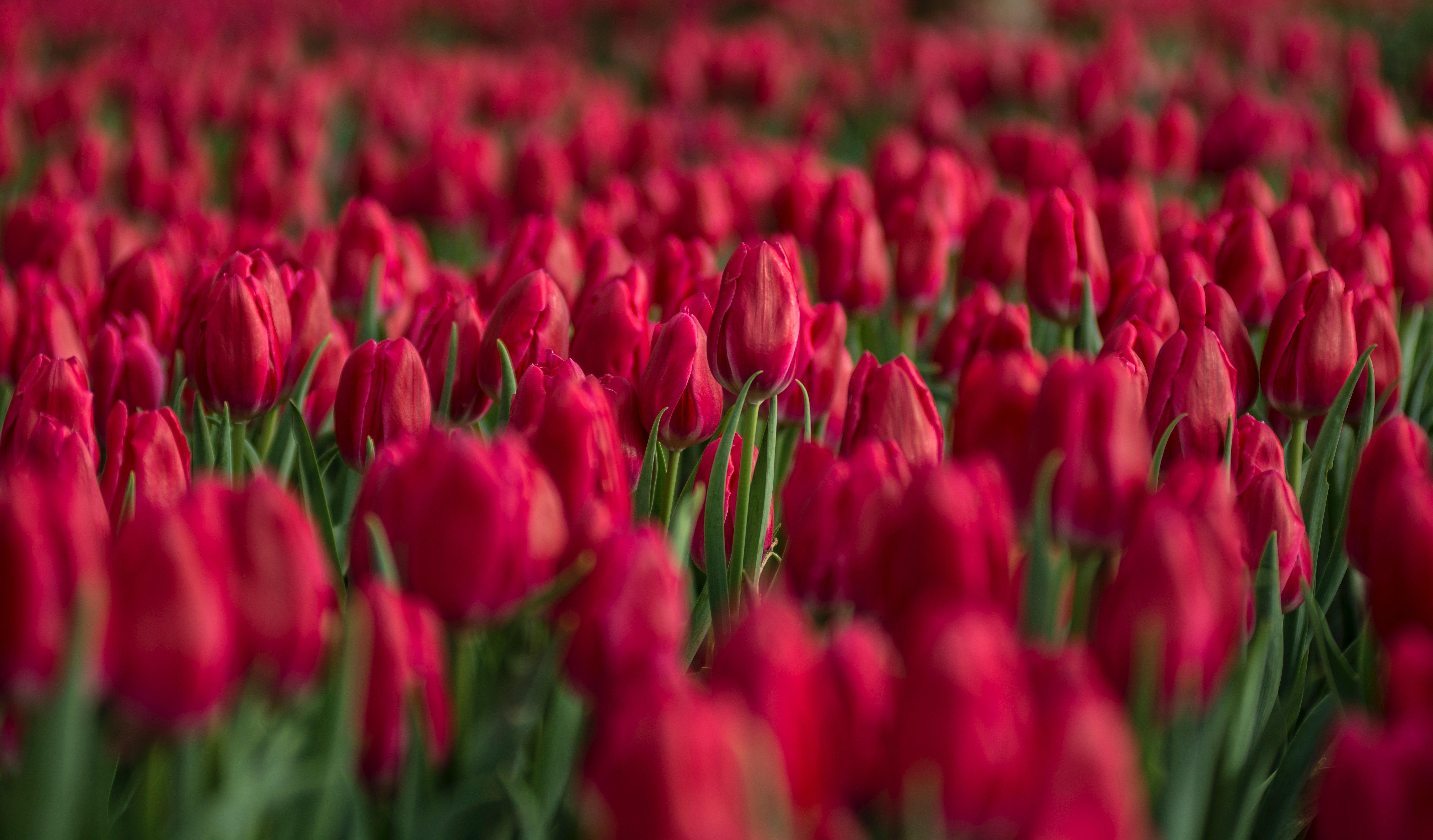 Free photo: Red Tulip Flower Field Close-up Photo - Outdoors, Nature ...