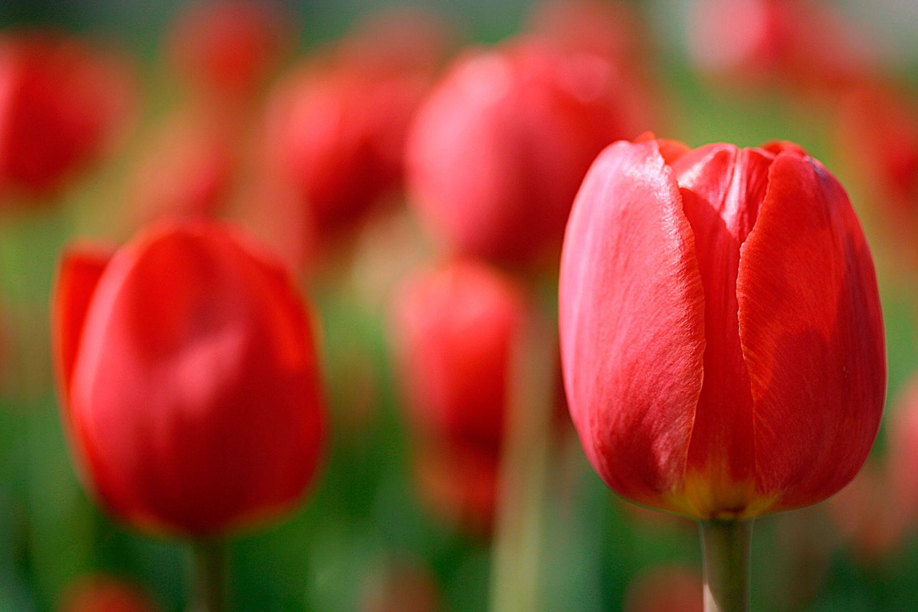 Red Tulips, Beautiful, Red, Nature, Petal, HQ Photo