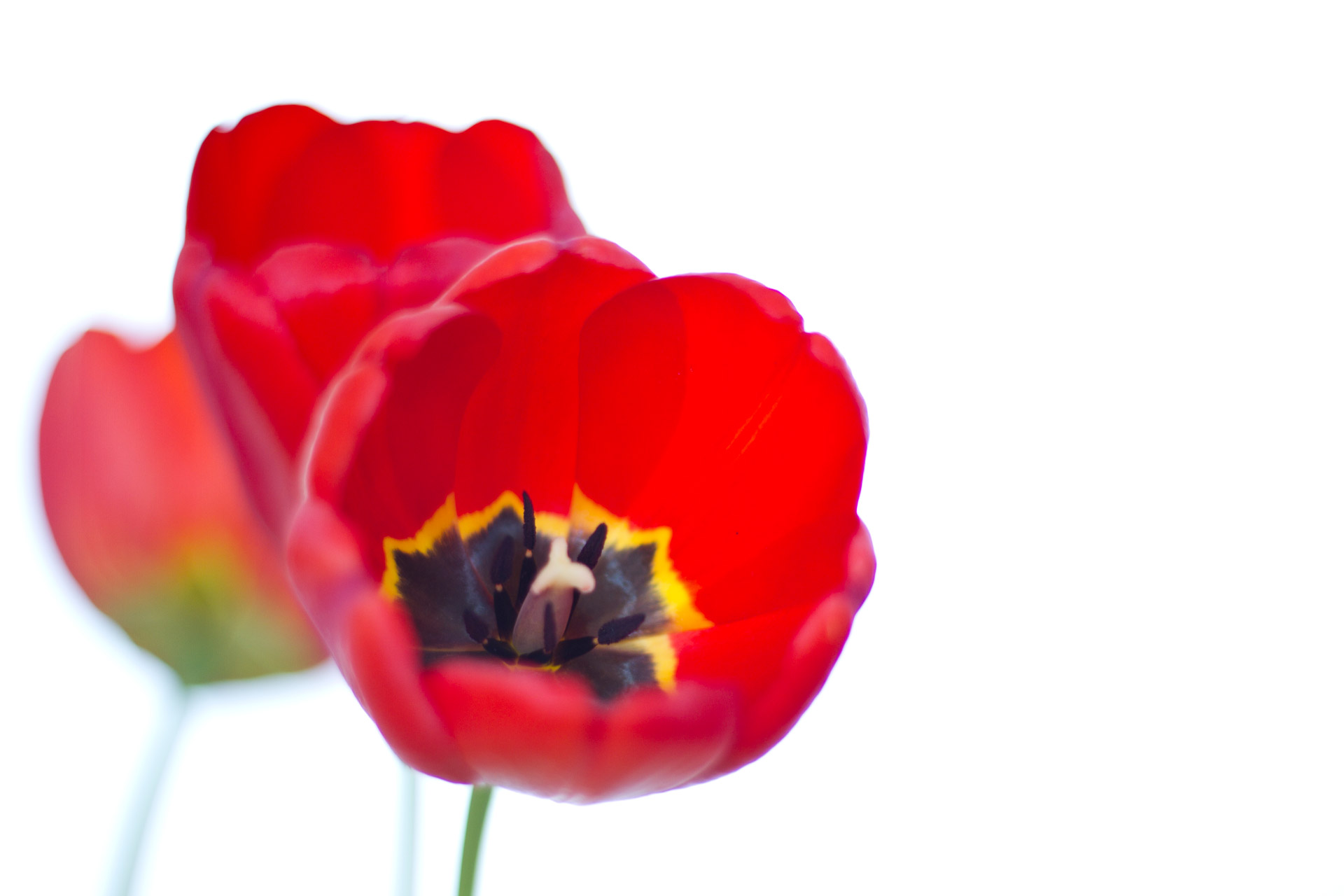 Red Tulips Free Stock Photo - Public Domain Pictures