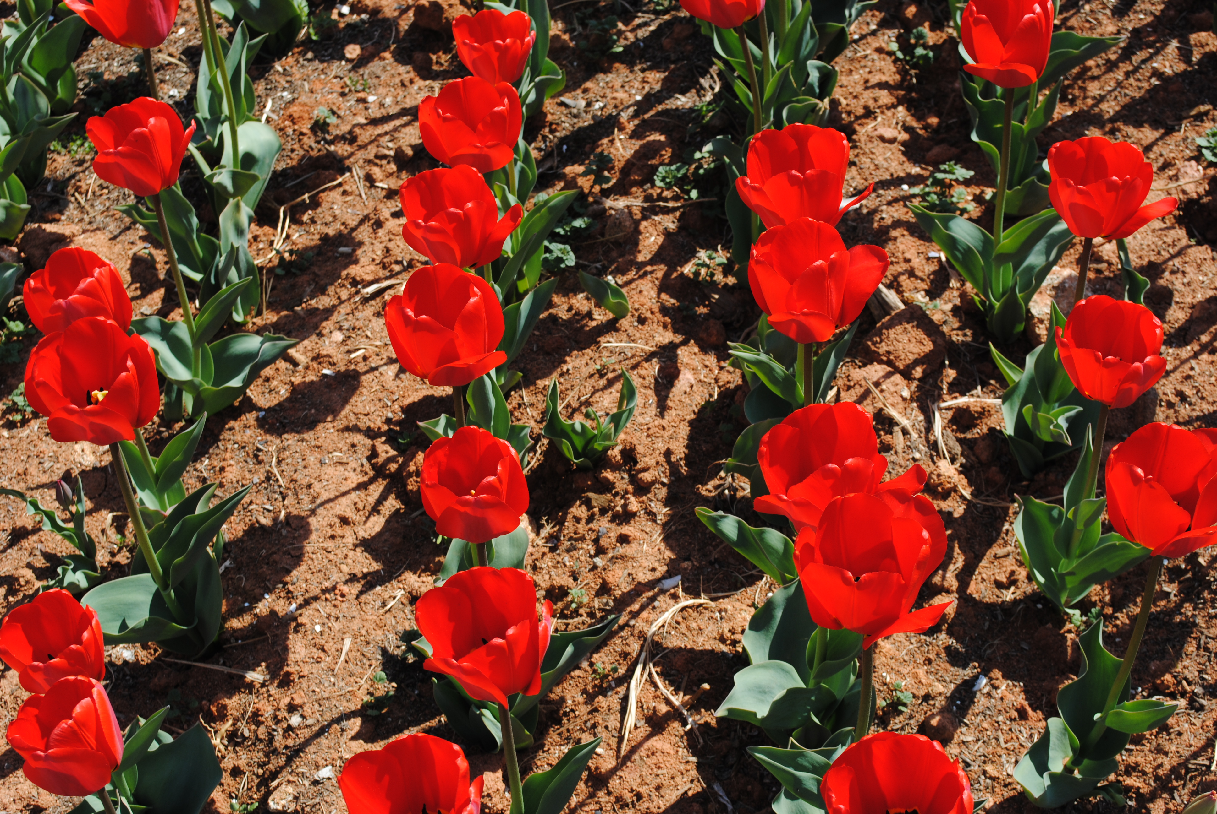 Red Tulips, Flowers, Red, Tulips, HQ Photo