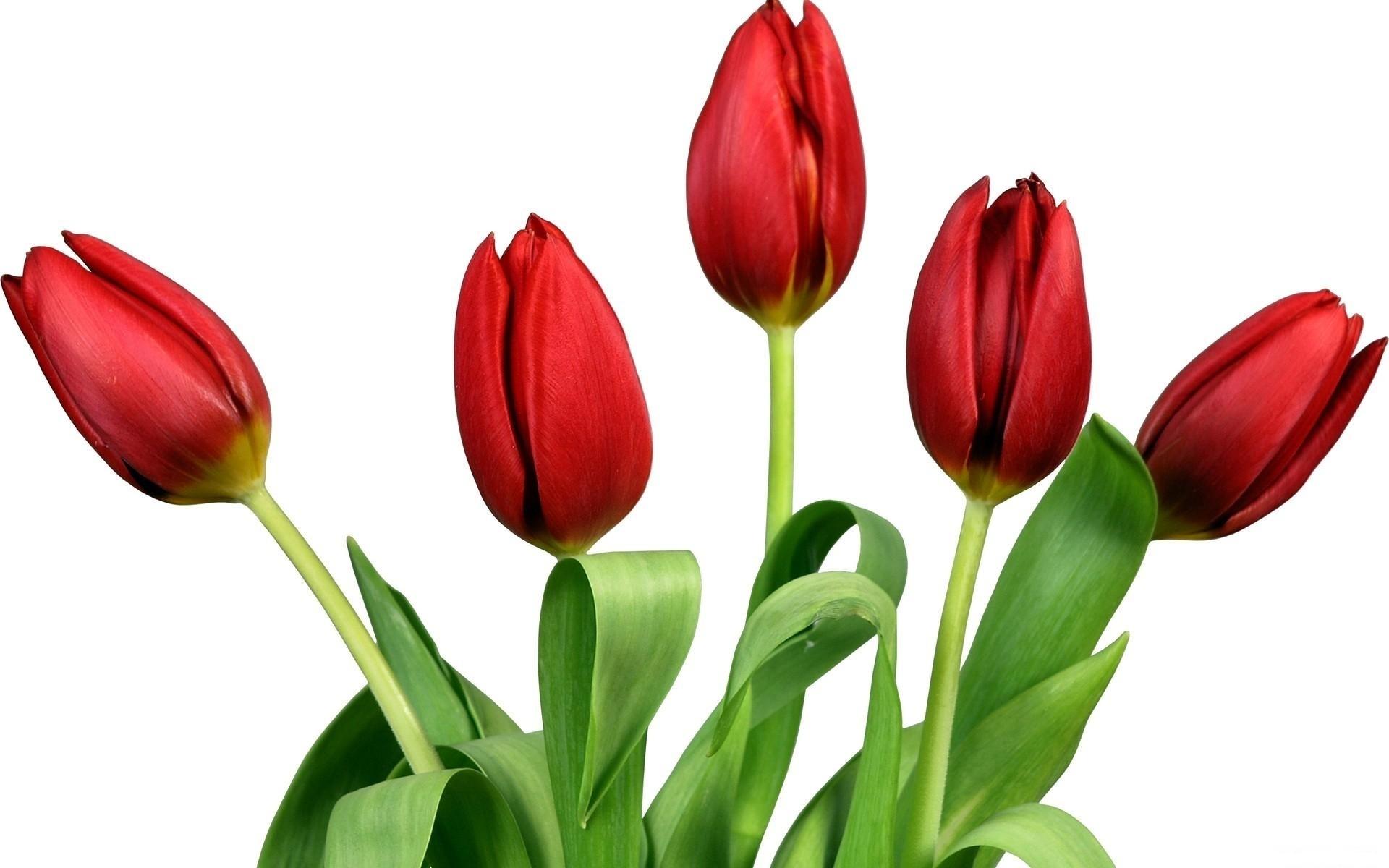Flower: Elegant Red Tulips Spring Tulip Flowers Flower White Photos ...