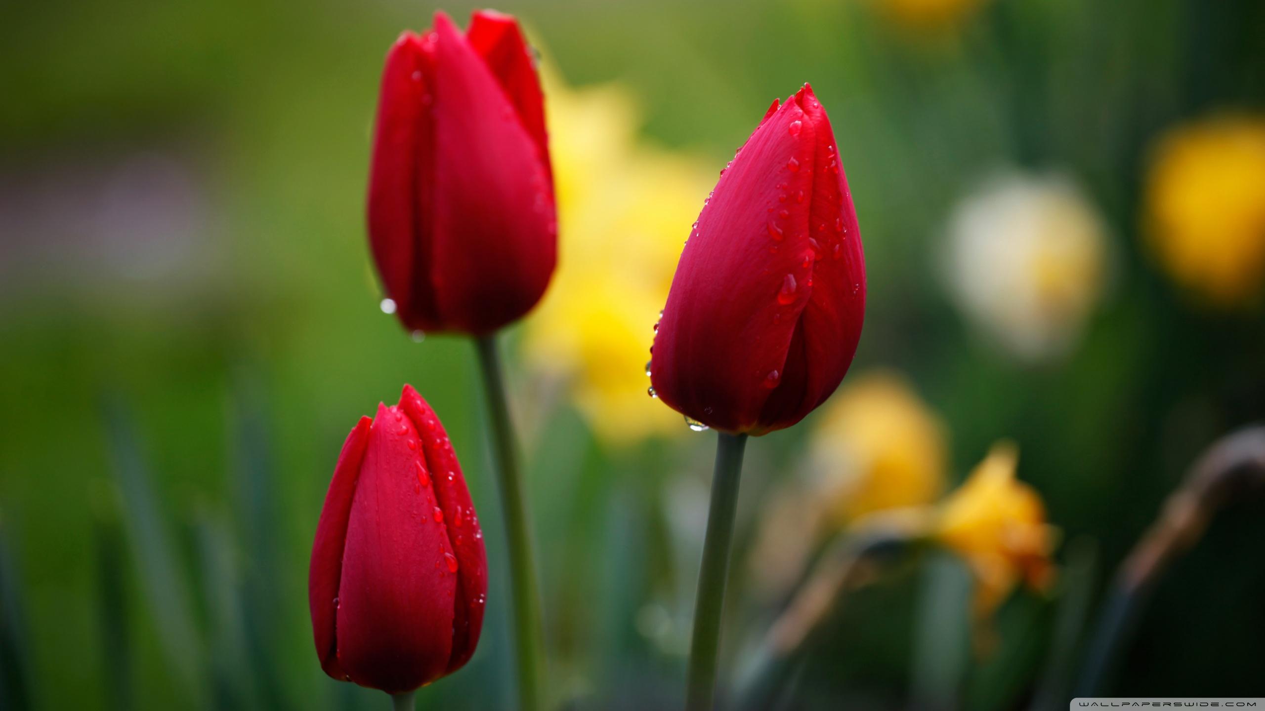 Three Red Tulips ❤ 4K HD Desktop Wallpaper for 4K Ultra HD TV ...