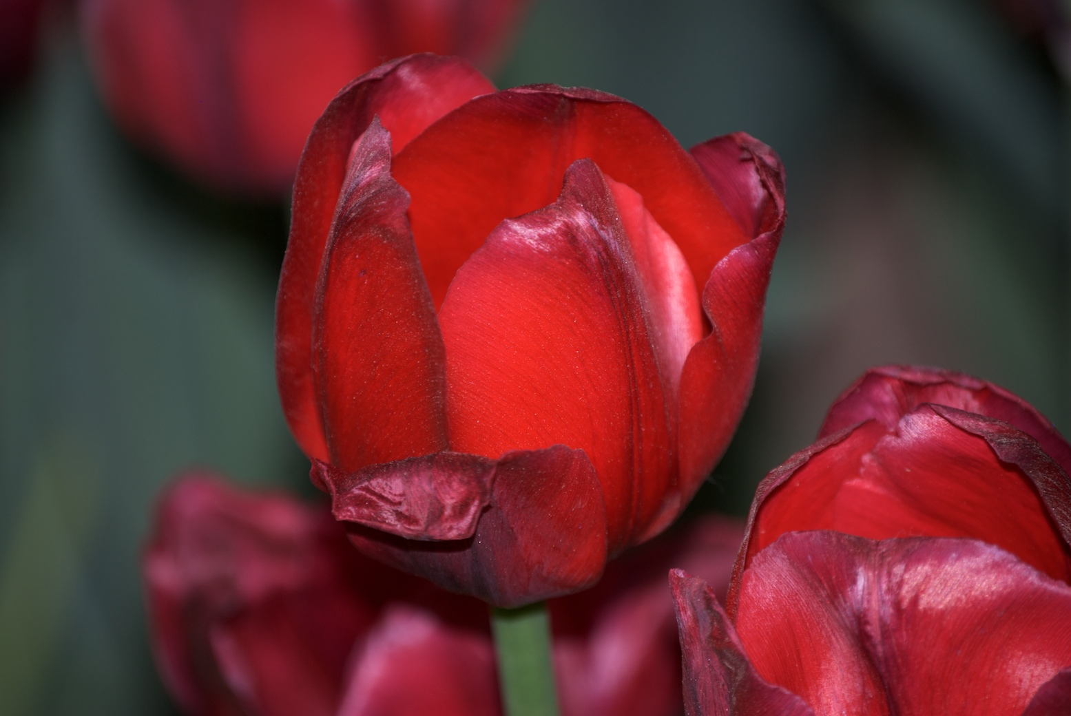 Red Tulips, Beautiful, Beijing, Bloom, China, HQ Photo