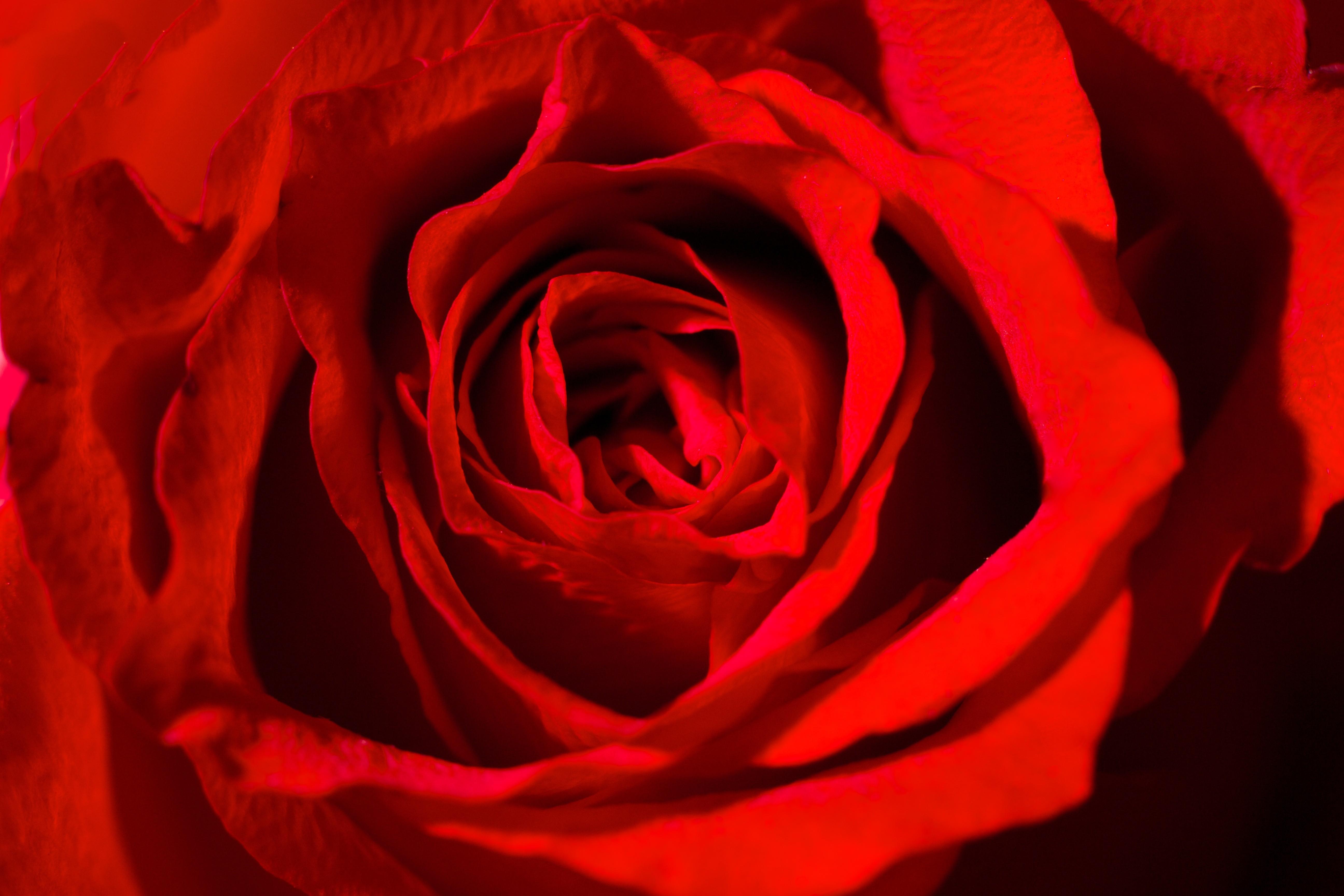 Flowers: Roses Rose Red Flowers Vibrant Amazing Flower Desktop ...