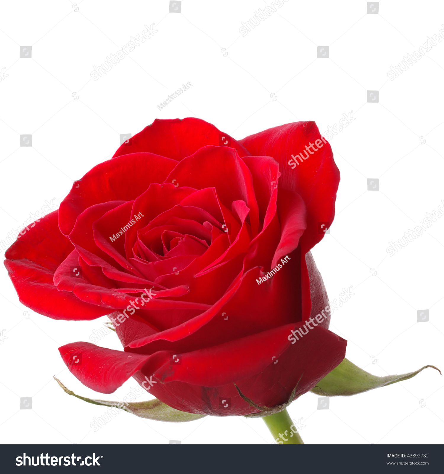 Vibrant Red Rose Isolated On White Stock Photo 43892782 - Shutterstock