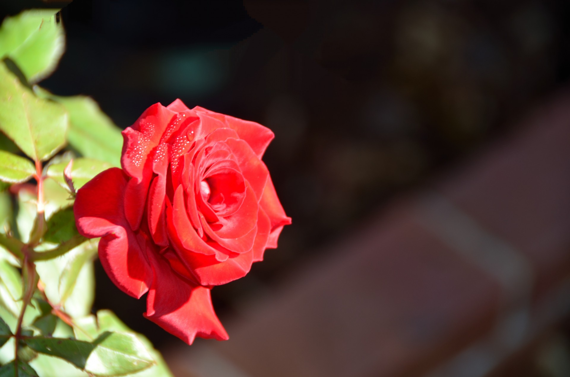 Vibrant Colored Rose Free Stock Photo - Public Domain Pictures