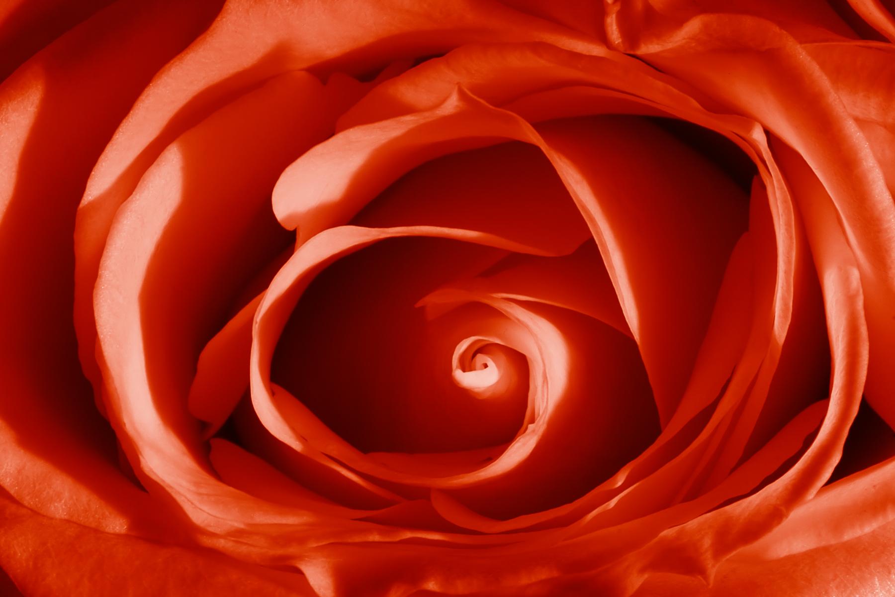 Red Vibrant Rose, Beautiful, Rose, Macro, Petal, HQ Photo